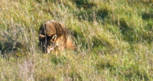 coyote_stalking