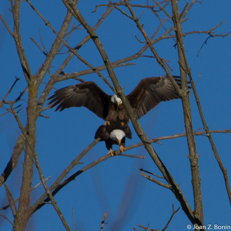 eagles_mating