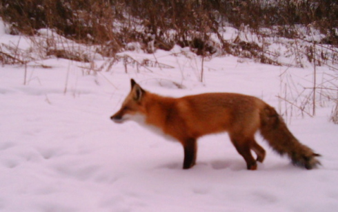red_fox_daylight_1