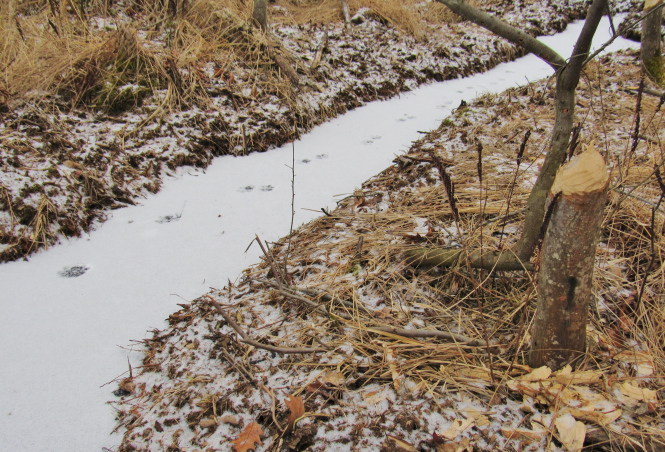 Coyote tracks on top of a canal dug by beavers.