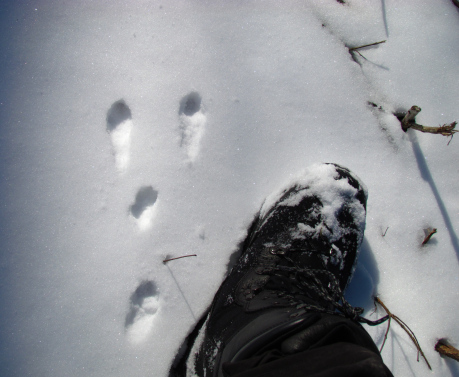 The hide feet, larger than the front feet point the direction of travel when a rabbit hops