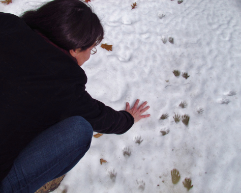 A hiker compares her hand to raccoon tracks in the snow.