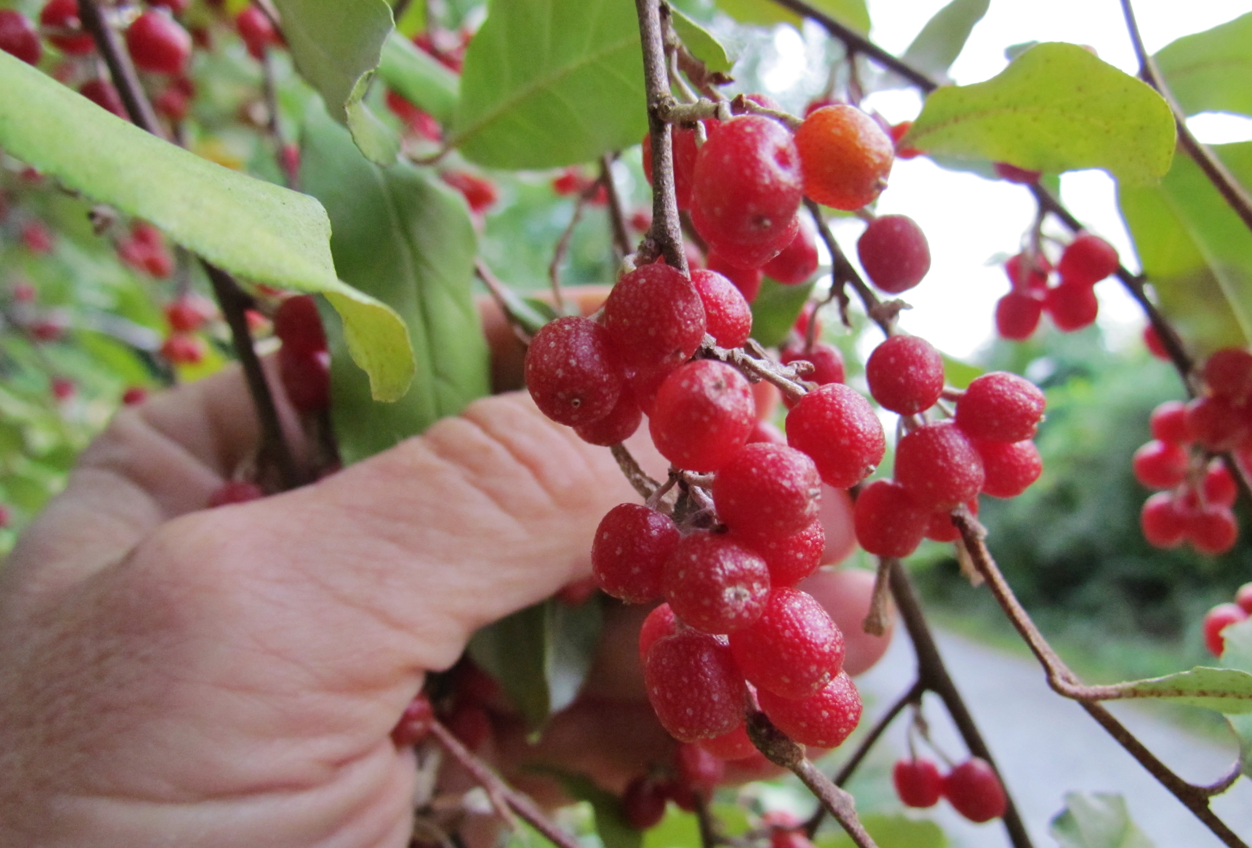 Autumn olives ripe on the vine.