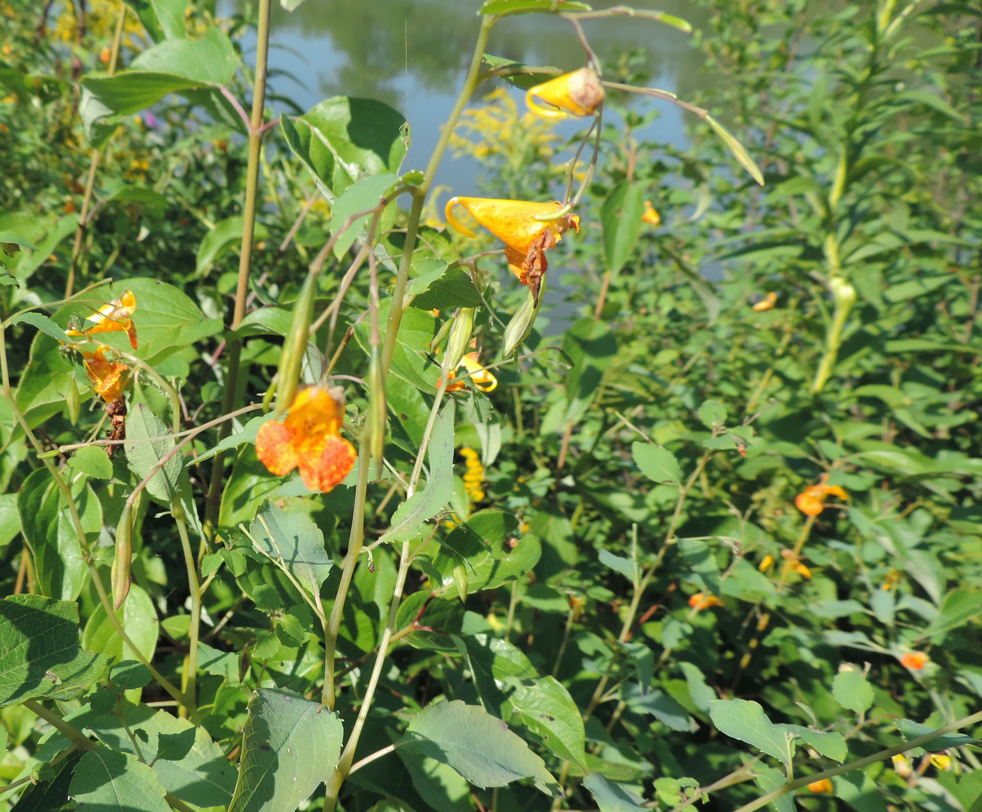 A cluster of spotted Jewelweed