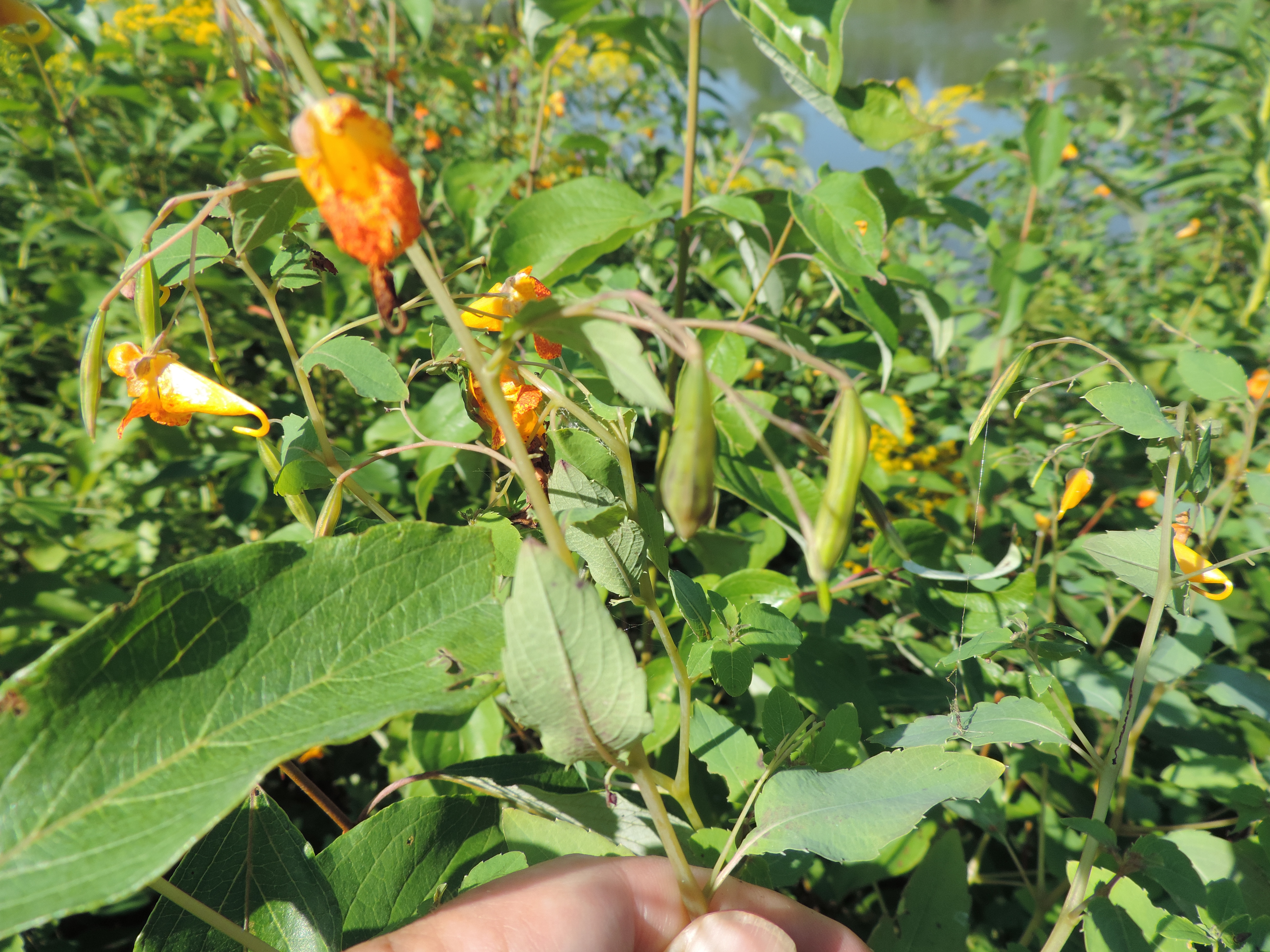A beautiful Spotted Jewelweed plant.