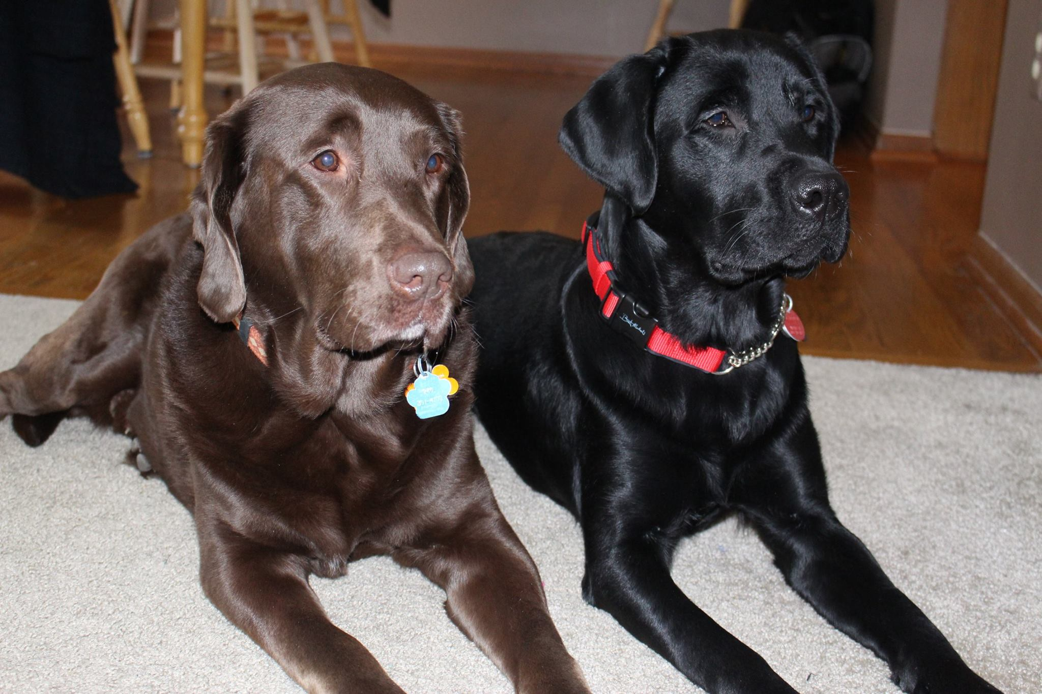 Canine Advocacy program dogs Amos and Lance ready for their day.