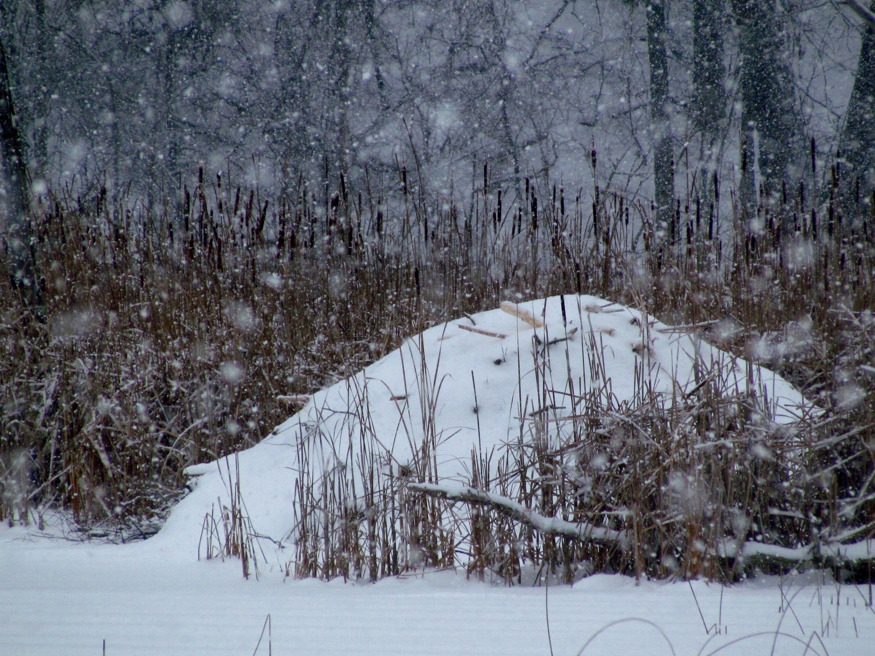 Beaver lodges are well constructed cozy winter homes for the best dam builders of Oakland County.