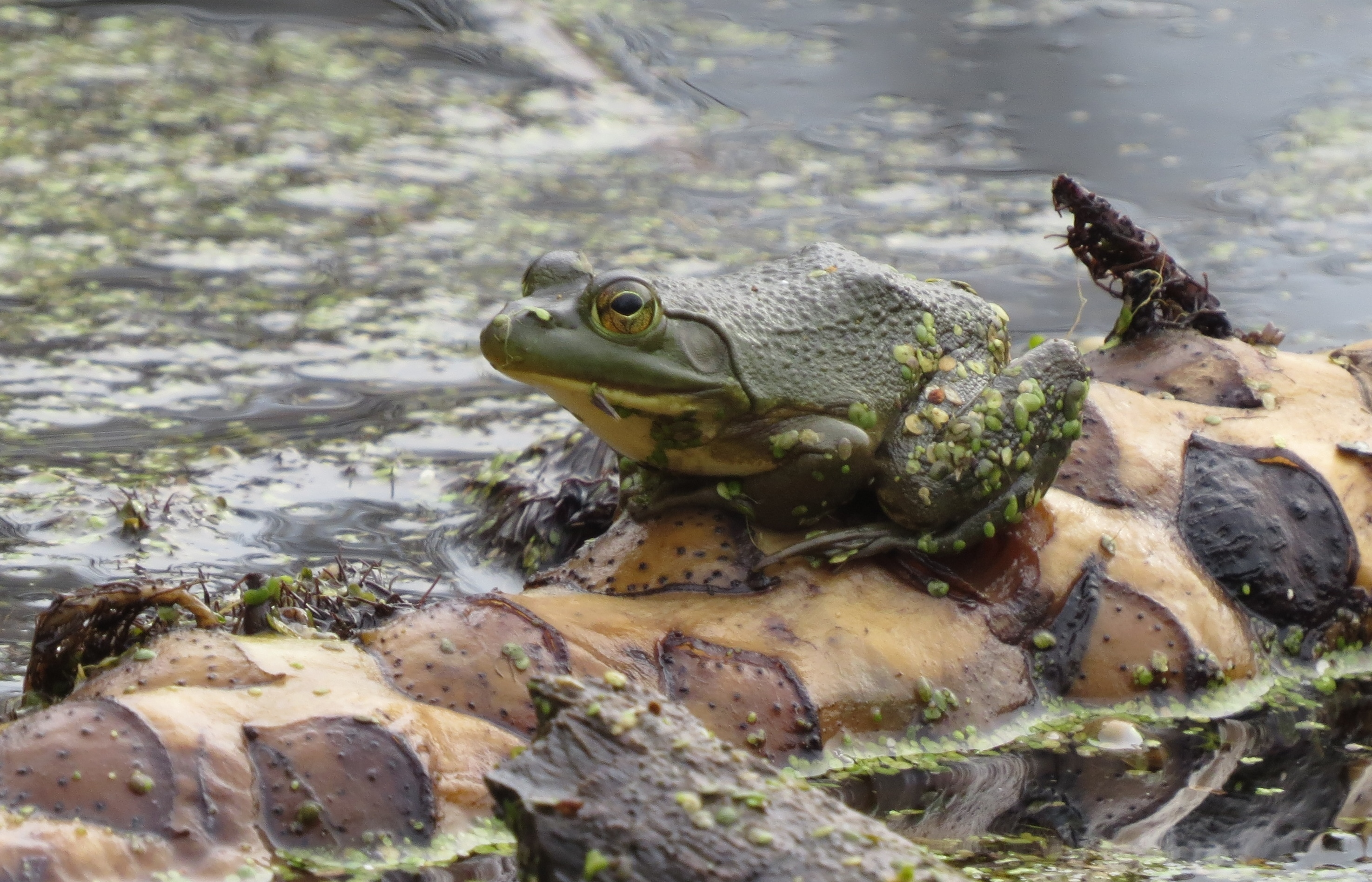 A bullfrog emerging to sit on a log during the warm December weather.