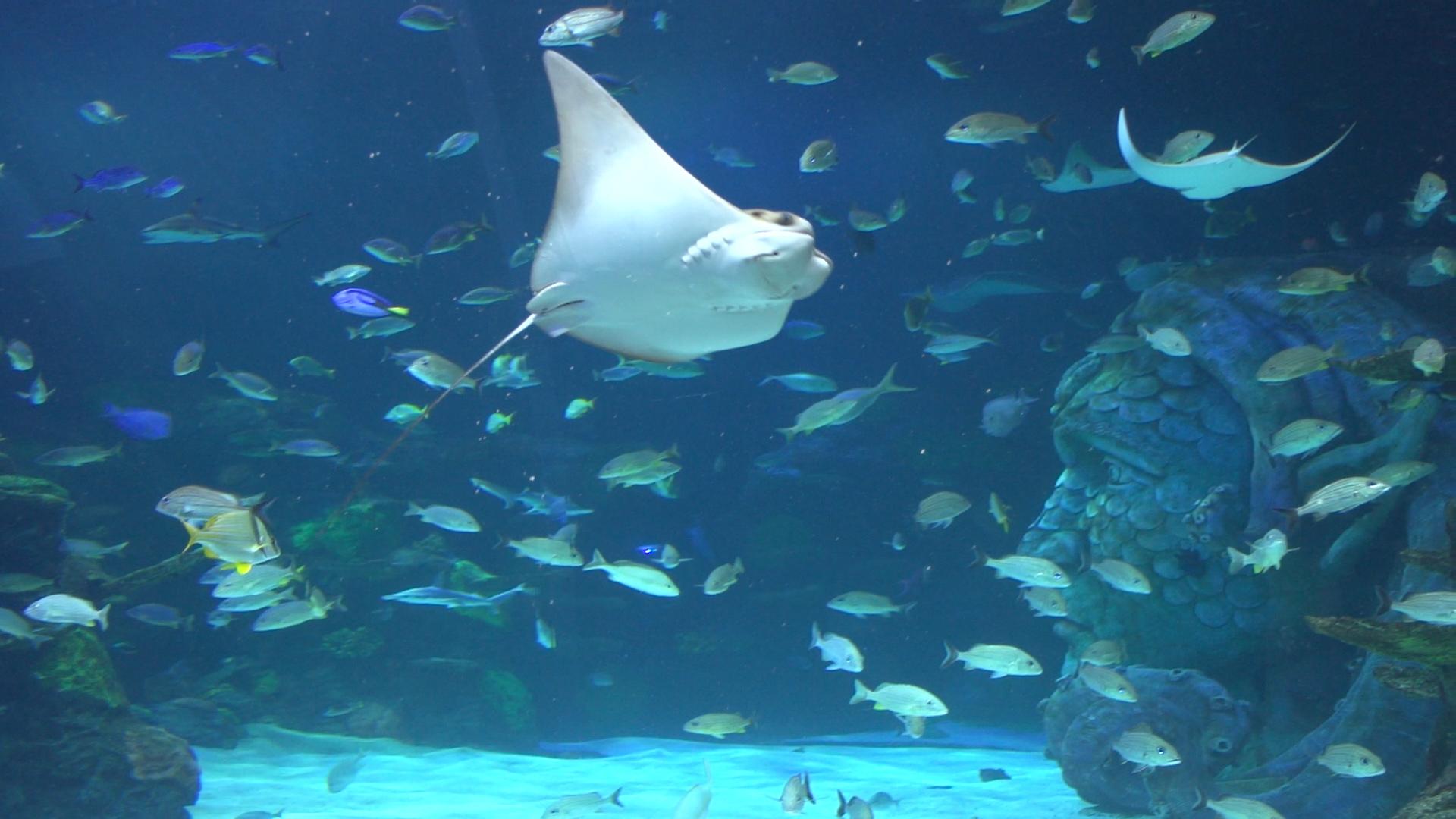Sea rays at the Sea Life Michigan Aquarium swimming and smiling at guests.