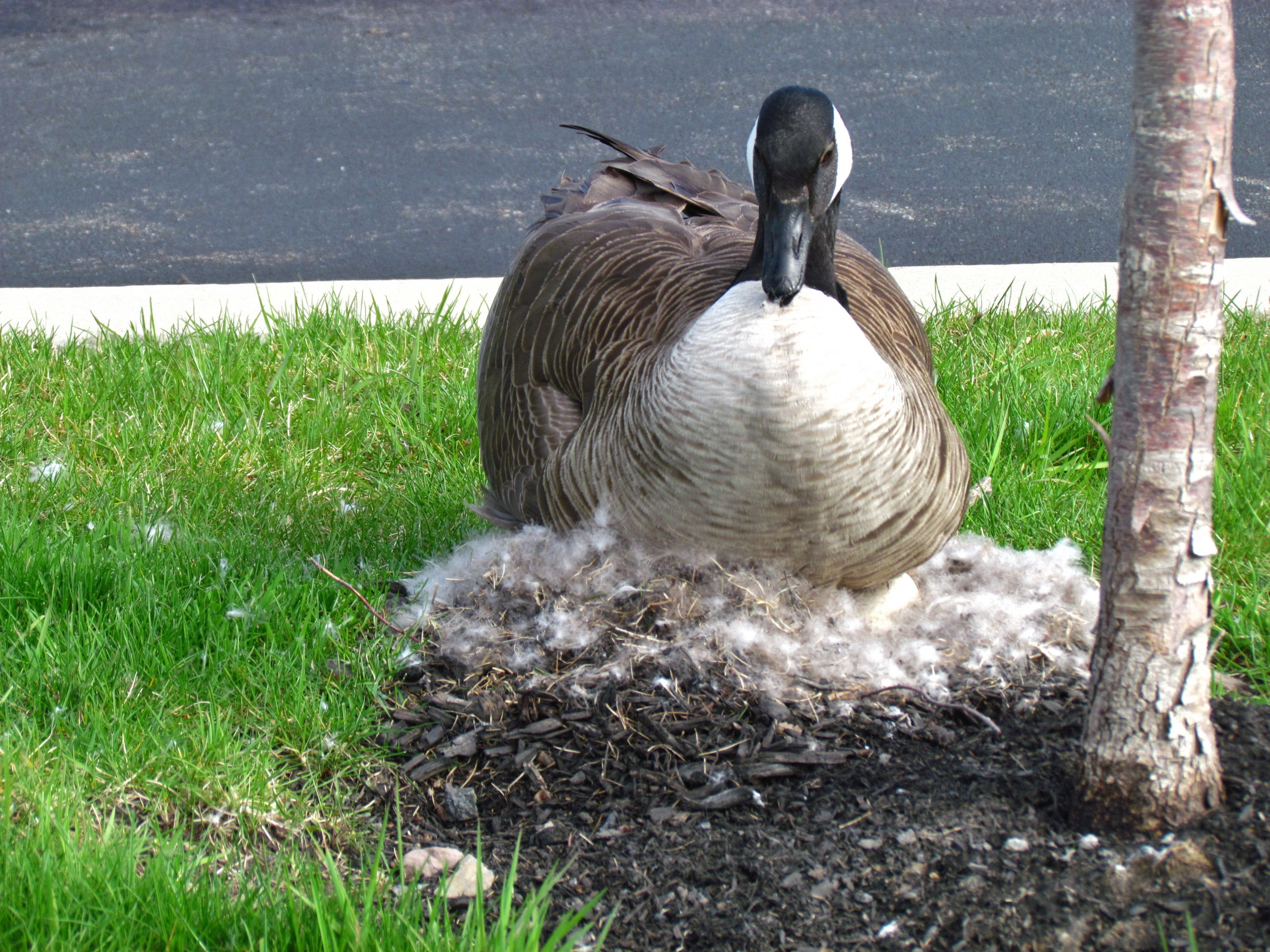 A small strip of green in a parking lot ( near water) beckons geese for nesting.