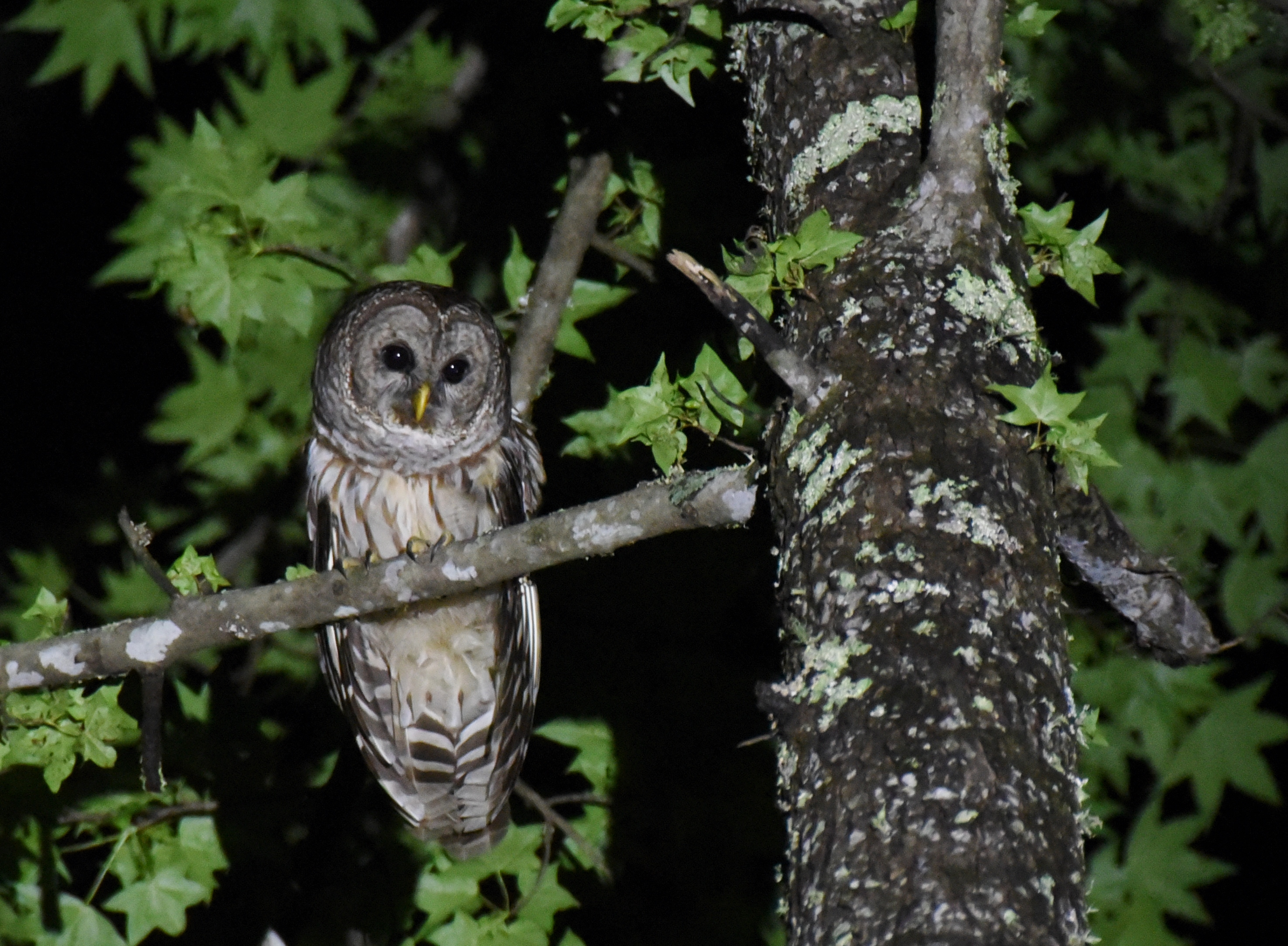 barred-owl-lauren