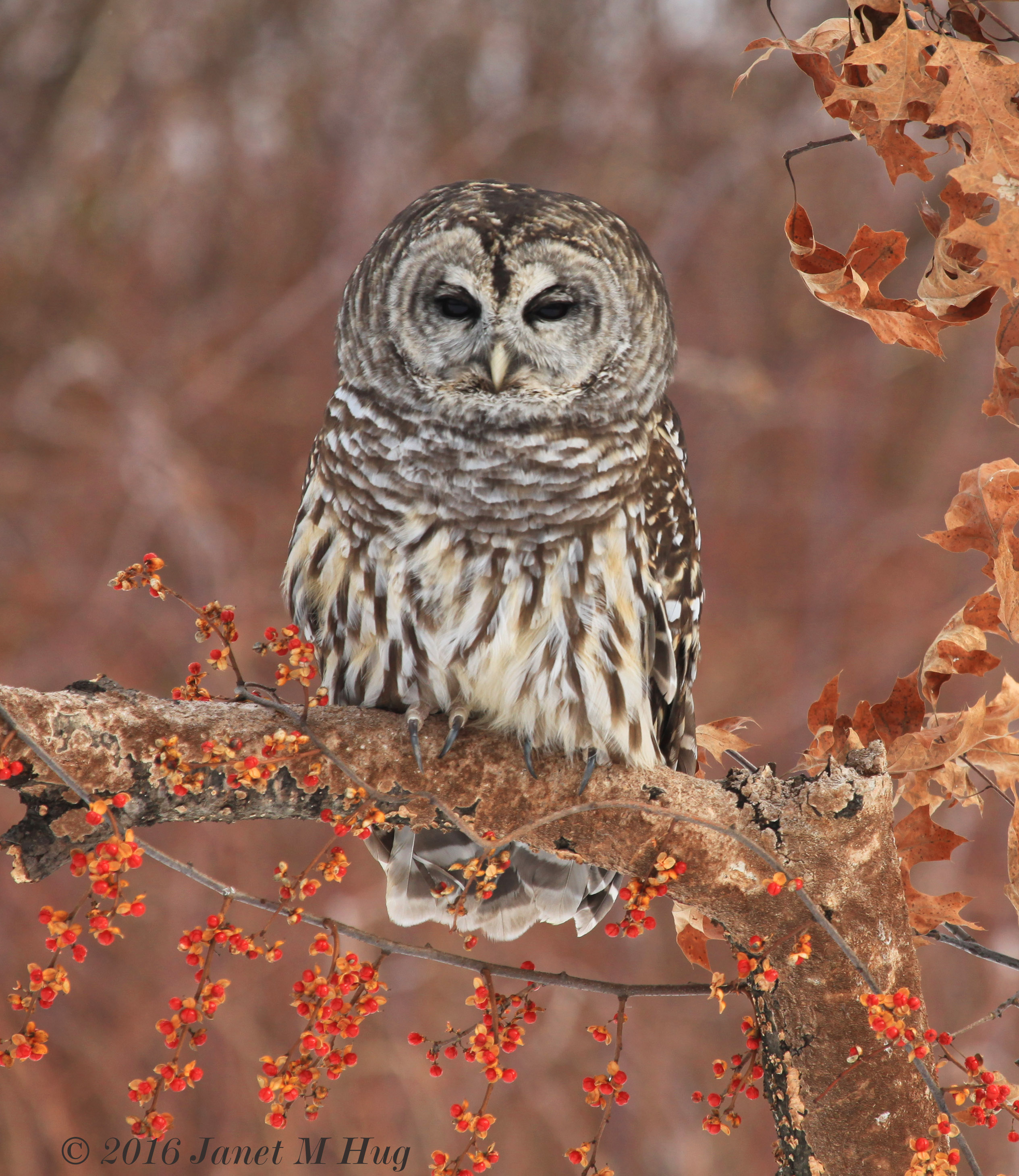 Barred Owl courtesy of Janet Hug