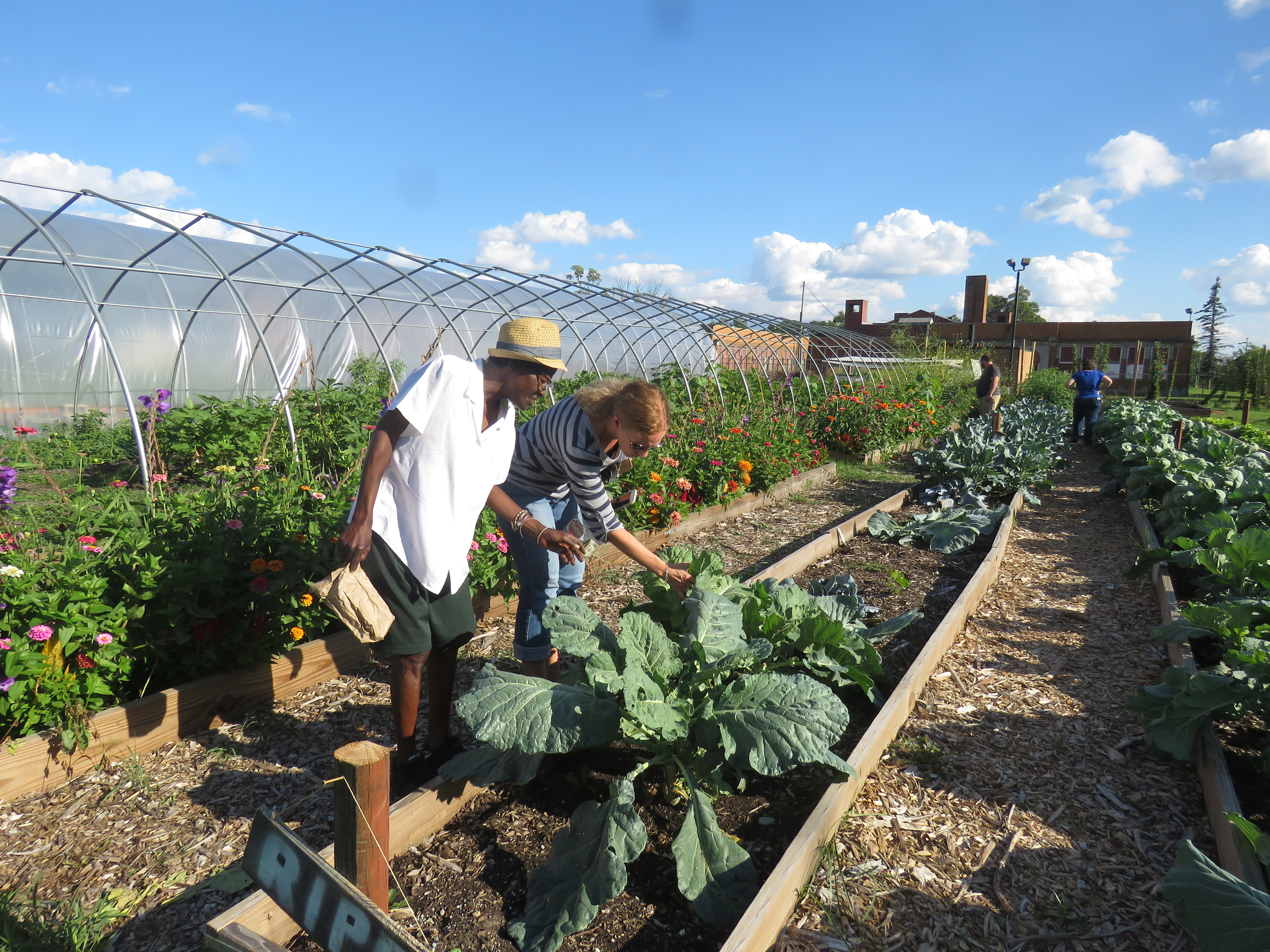 A man and woman stop and look at a cabbage plant in a community garden. The sky above is blue with puffy clouds.