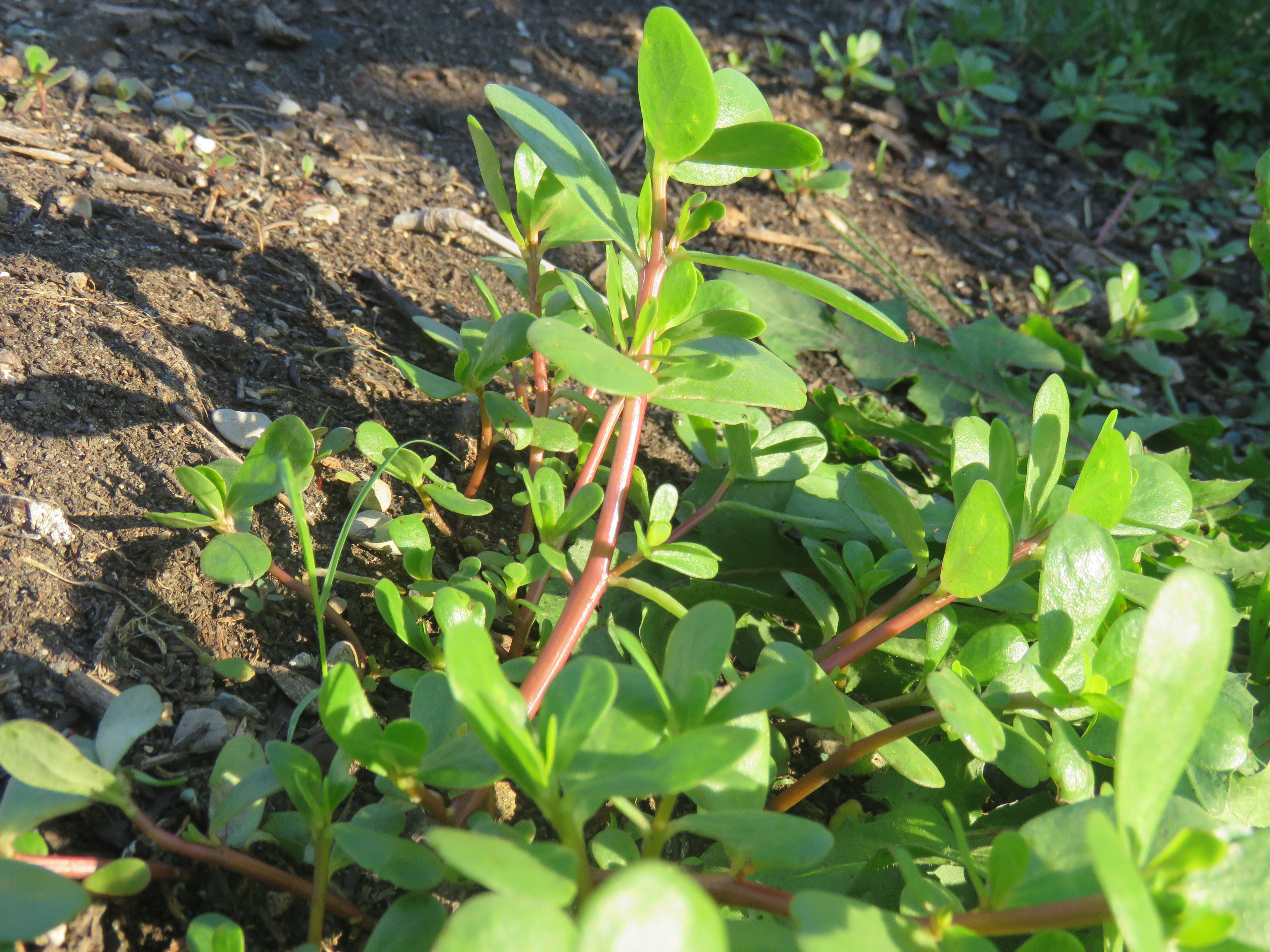 A close up shot up Common Purslane growing in dirt.