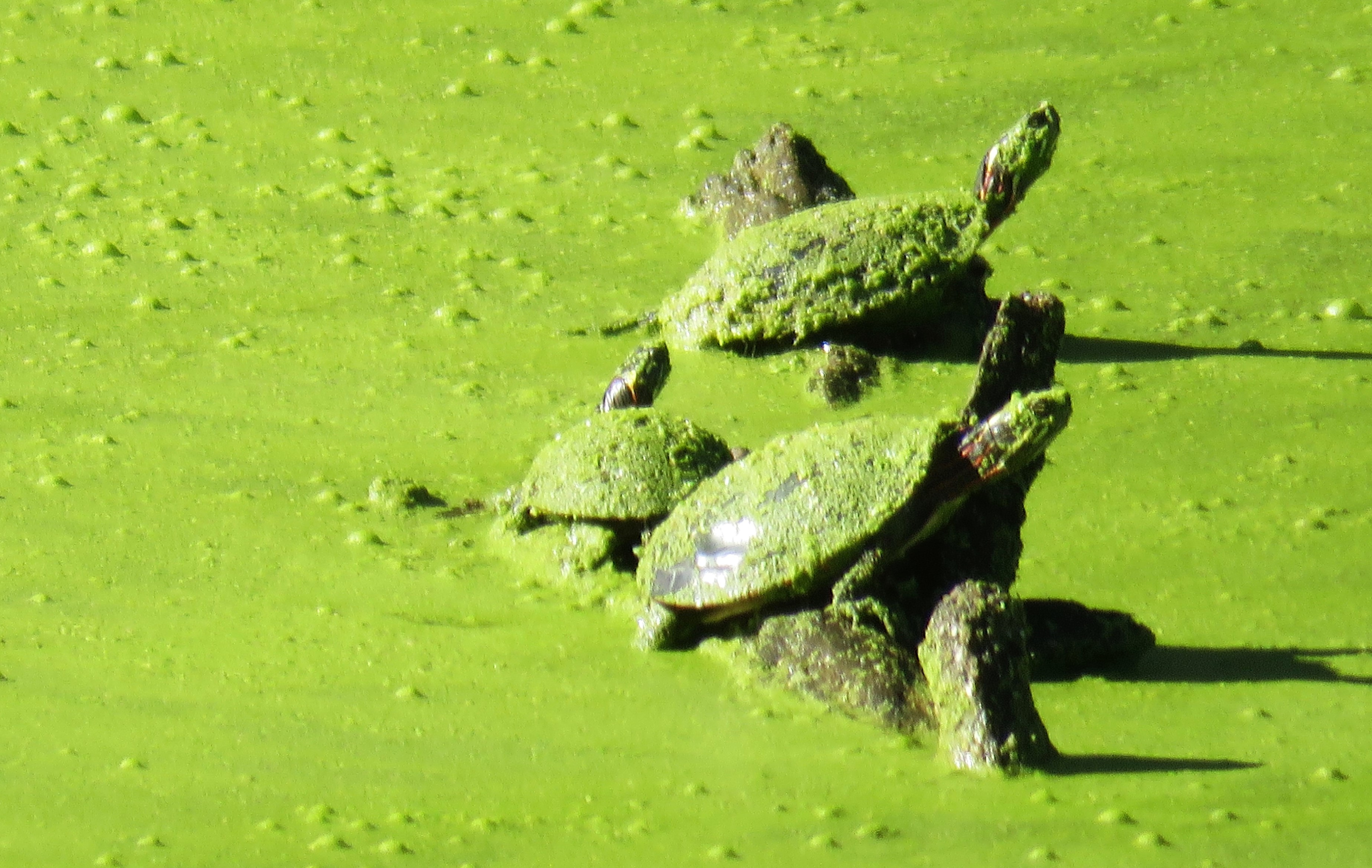 Three painted turtles sit on a log in a pond that's covered in duckweed