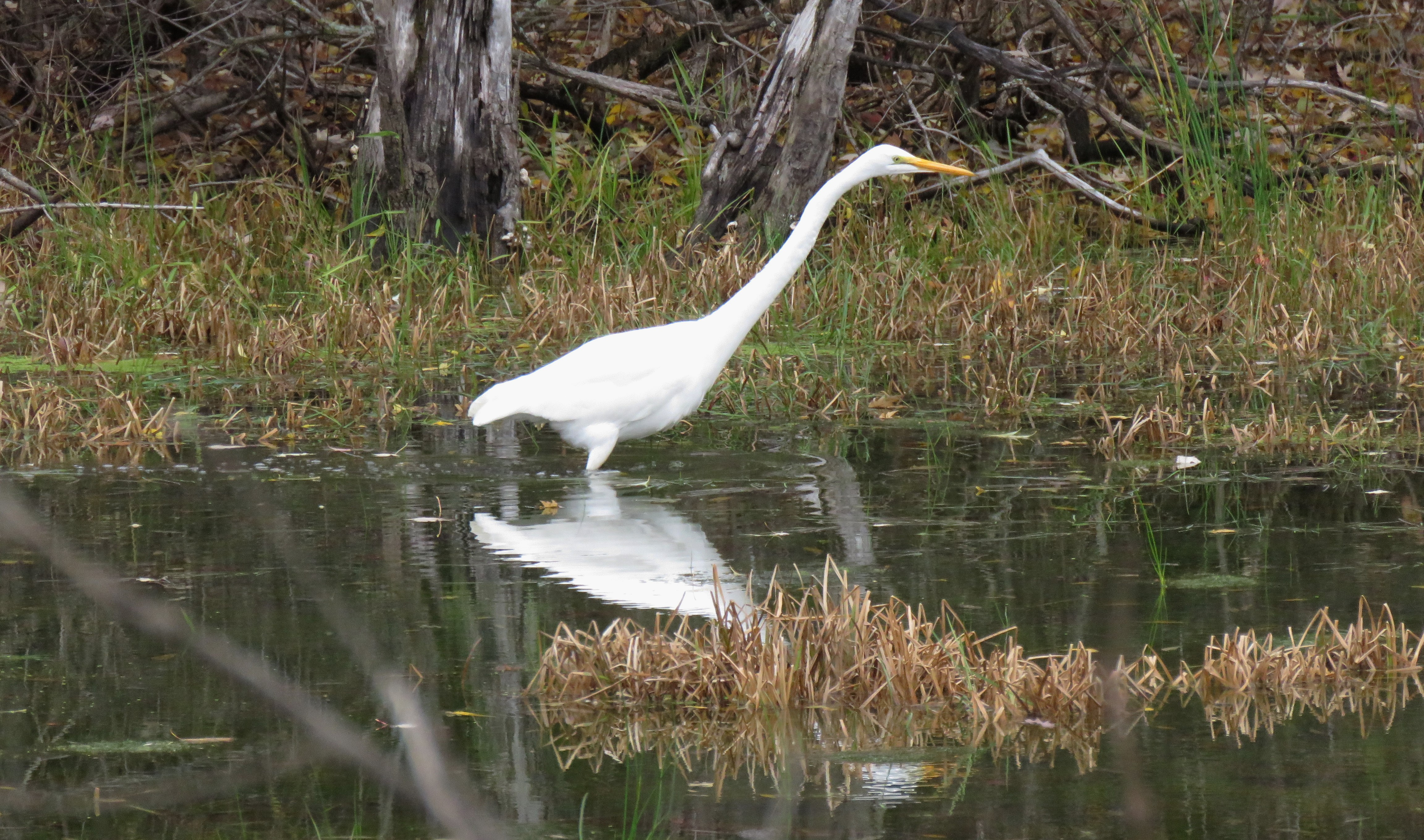 A Great Egret stands still in shallow water, stalking fish