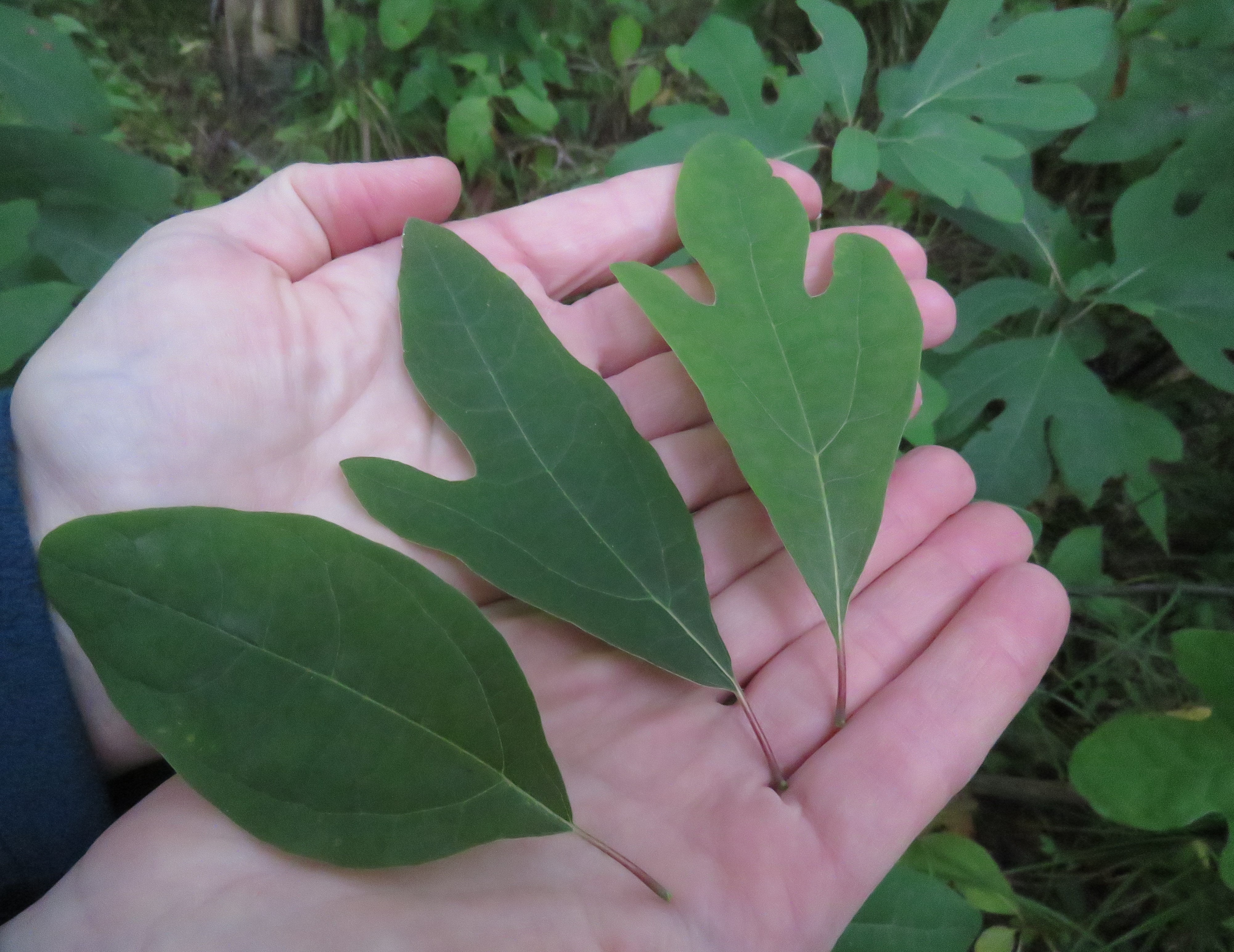 Three green sassafras leaves of varying shapes arranged in a person's open hands.