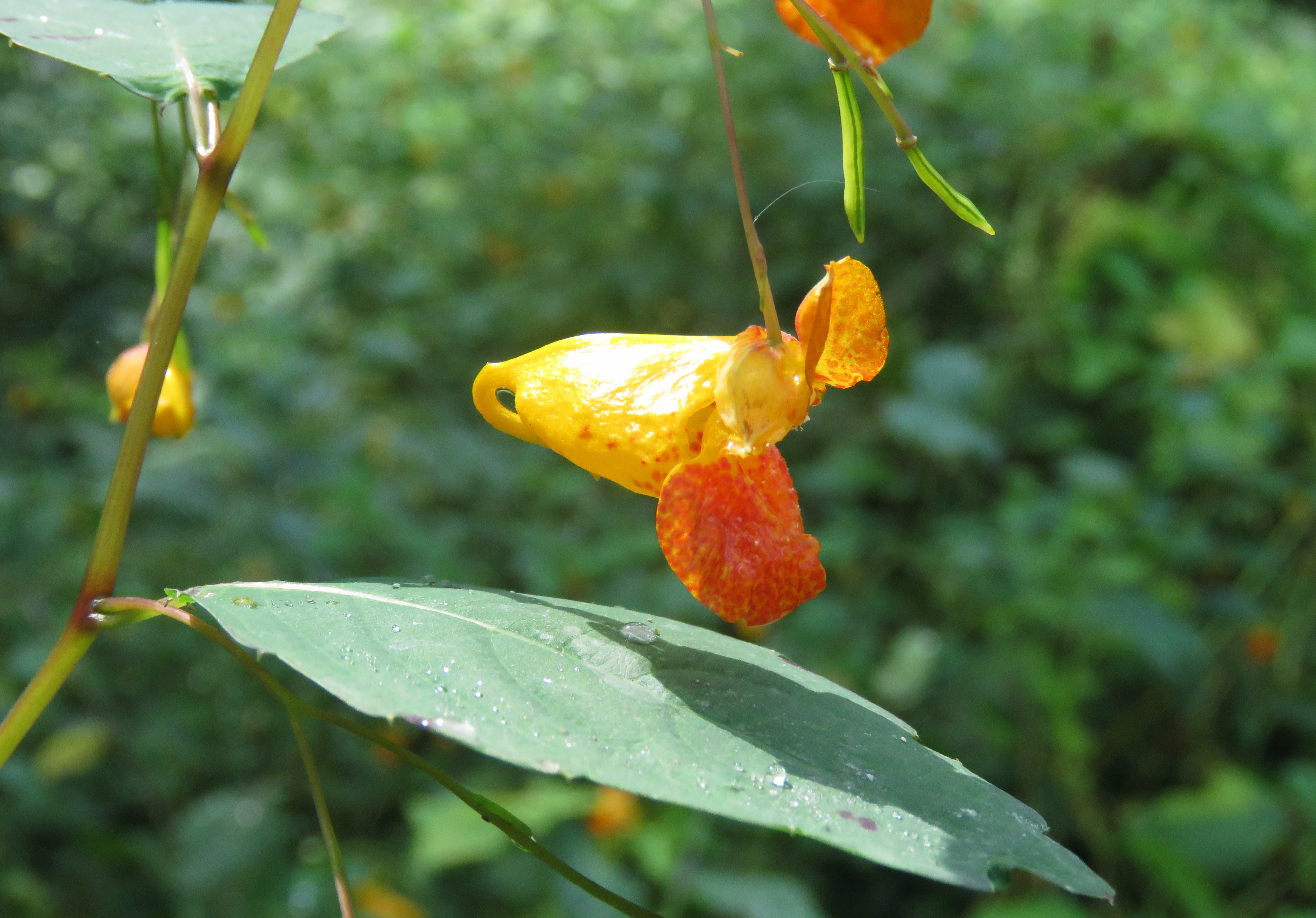 An orange jewelweed flower highlighted by the sun. Green foliage makes us the background.