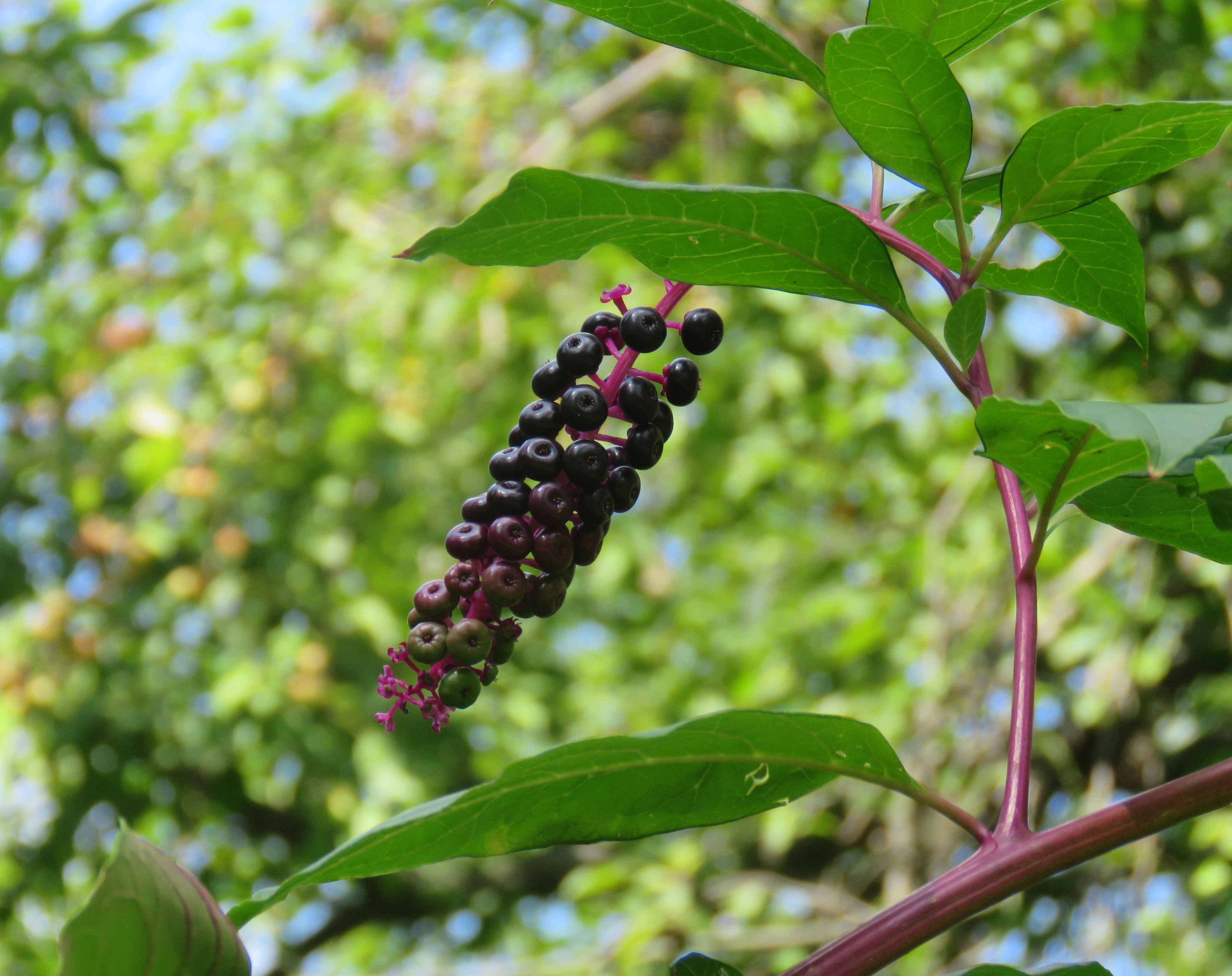 A photograph of poisonous pokeweed. Its berries and dark purple with a dark pink stem.