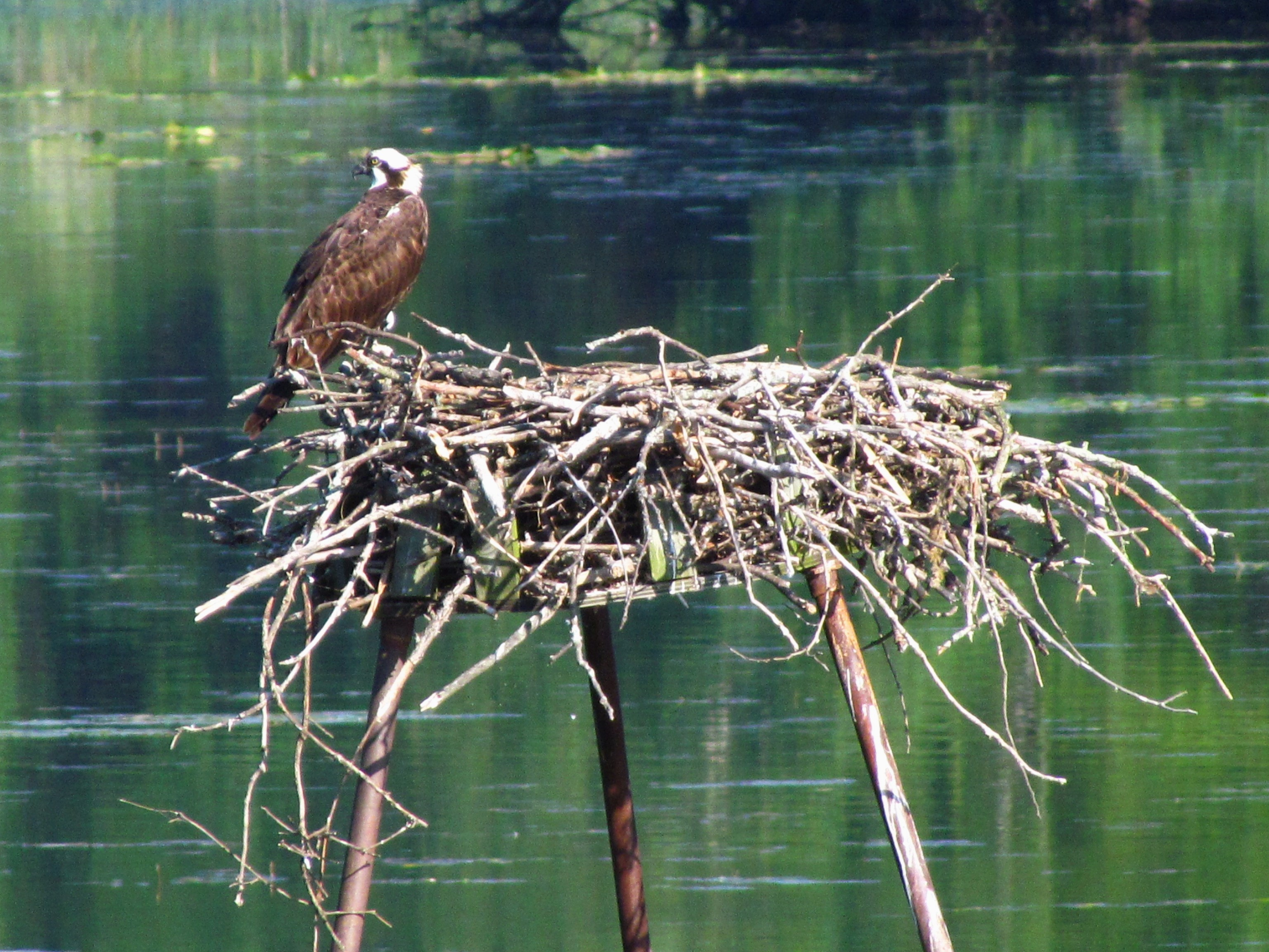 An Osprey sits on an Osprey Nesting Platform that has been covered in twigs and branches. A body of water can be seen in the background.