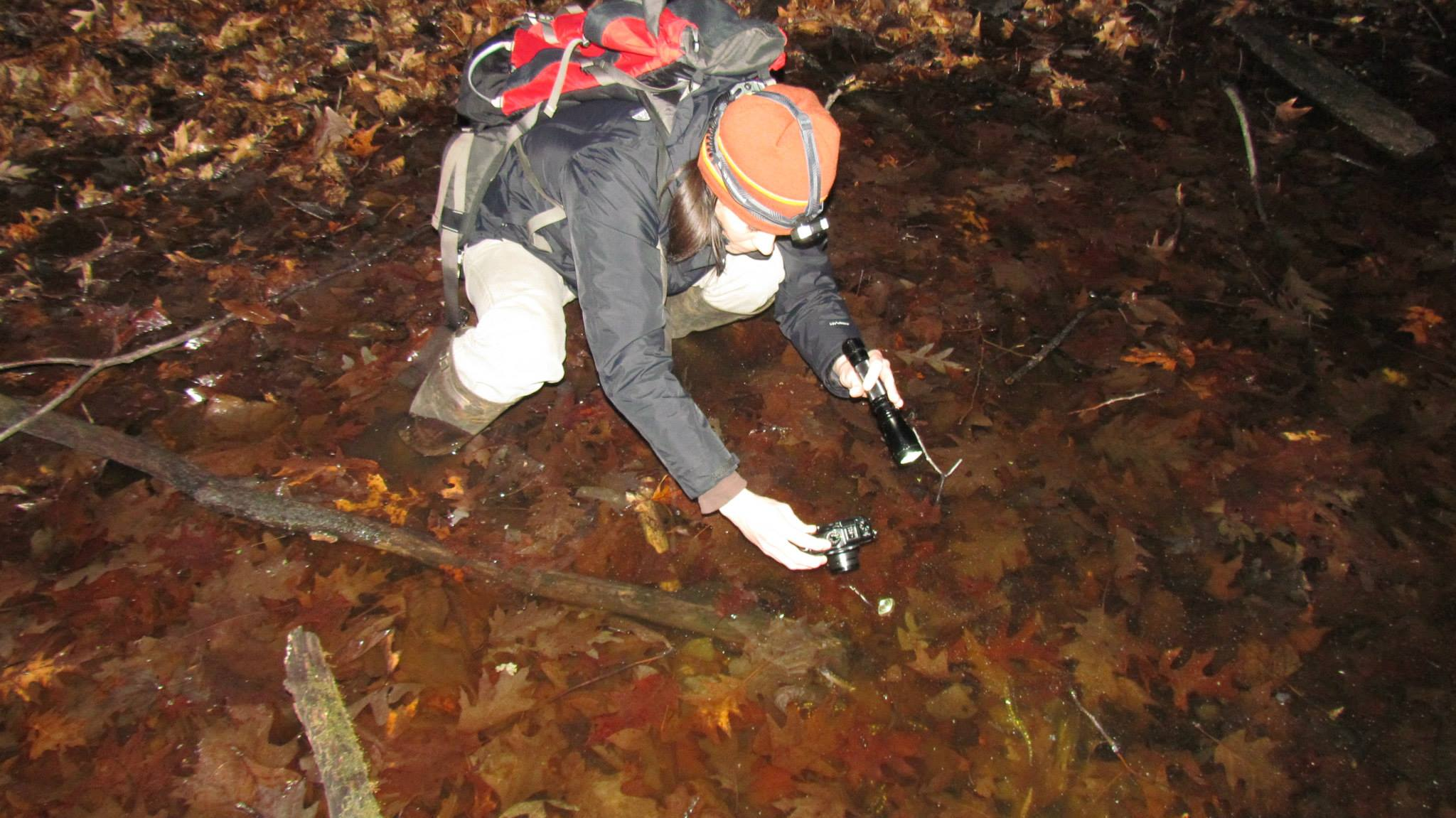 A woman squats down in a shallow pond filled with leaves. She is holding a flash light in one hand and a camera in the other. She wears a backpack and has a light attached to her head. She is looking for newts.