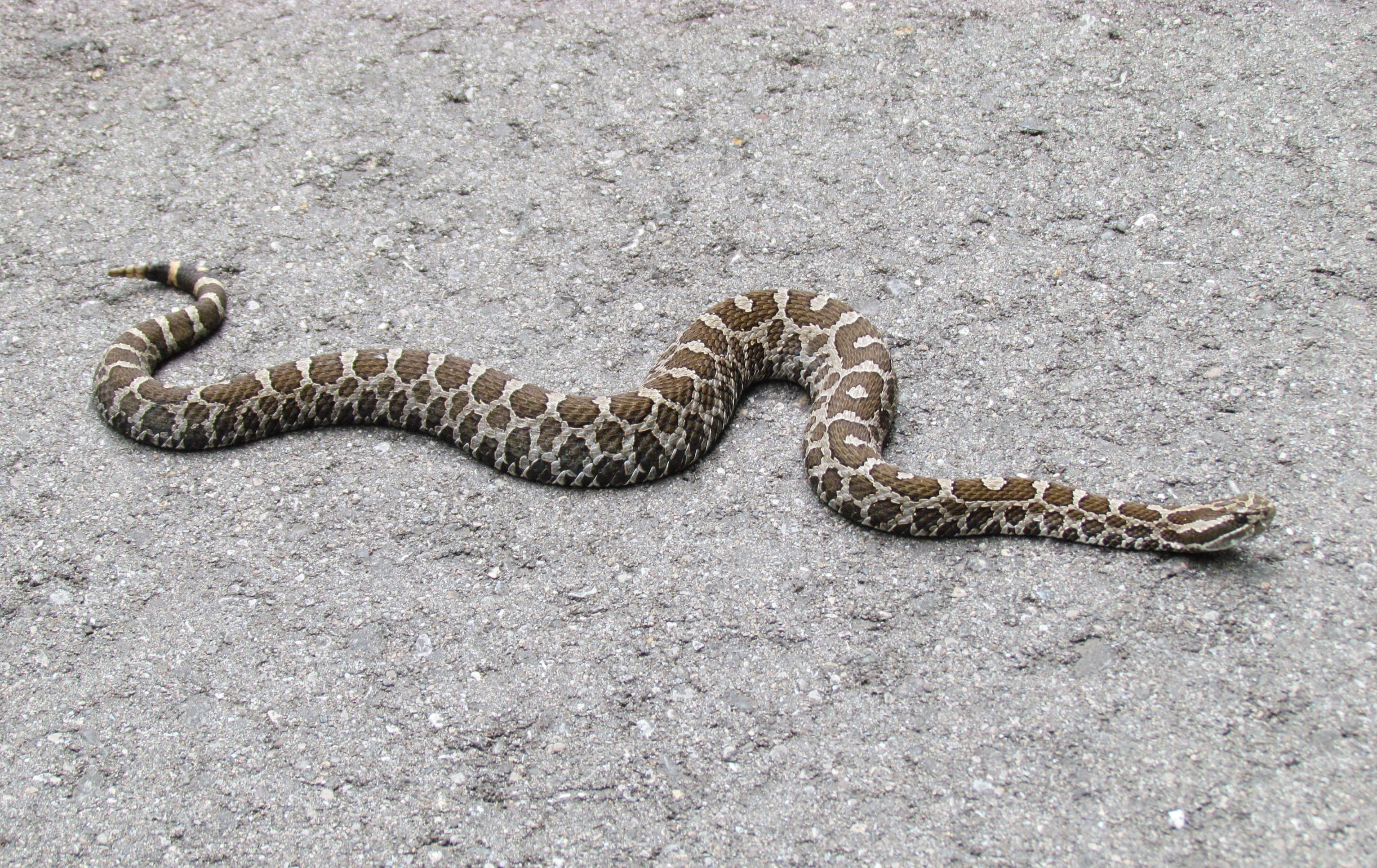 An Eastern Massasauga Rattlesnake stretched out sunning itself on a path.