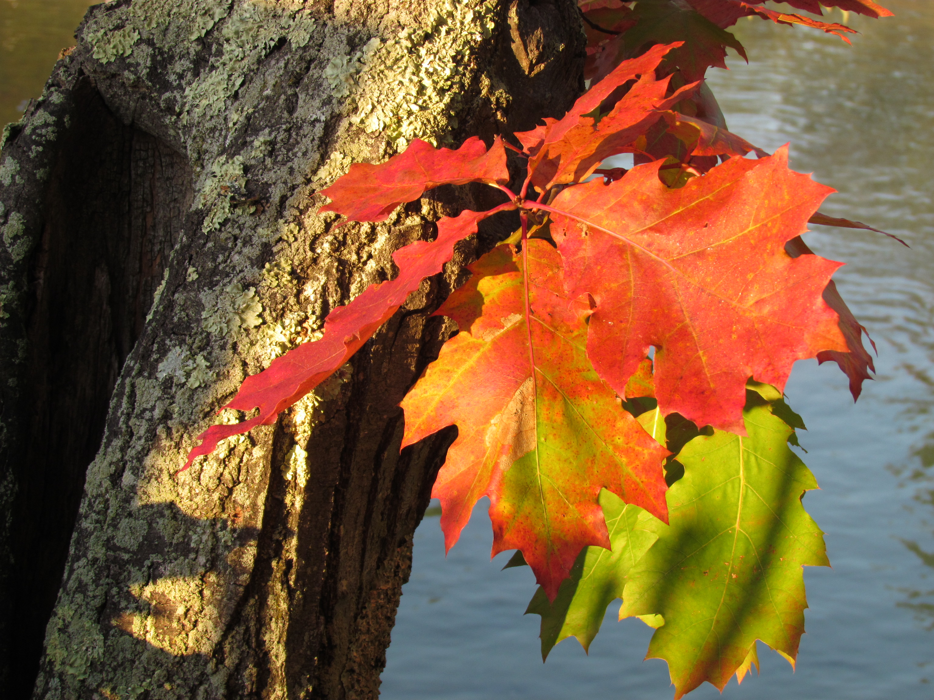 A close-up photo of maple leaves in brilliant fall colors (red, orange, yellowish-green) near a tree trunk.