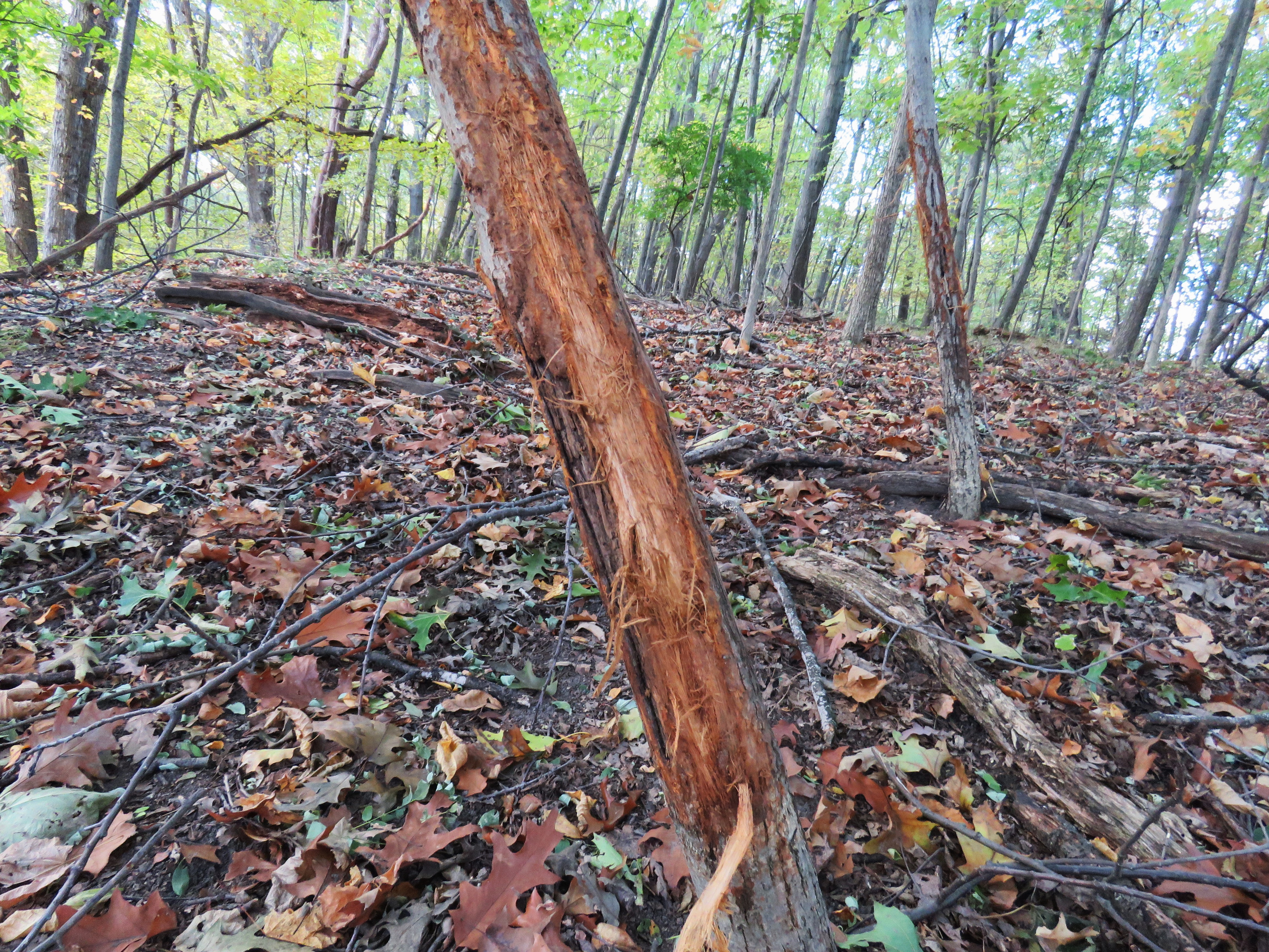 A young tree in a wooded area showing evidence of buck rub: bark that has been scraped off by a buck's antlers
