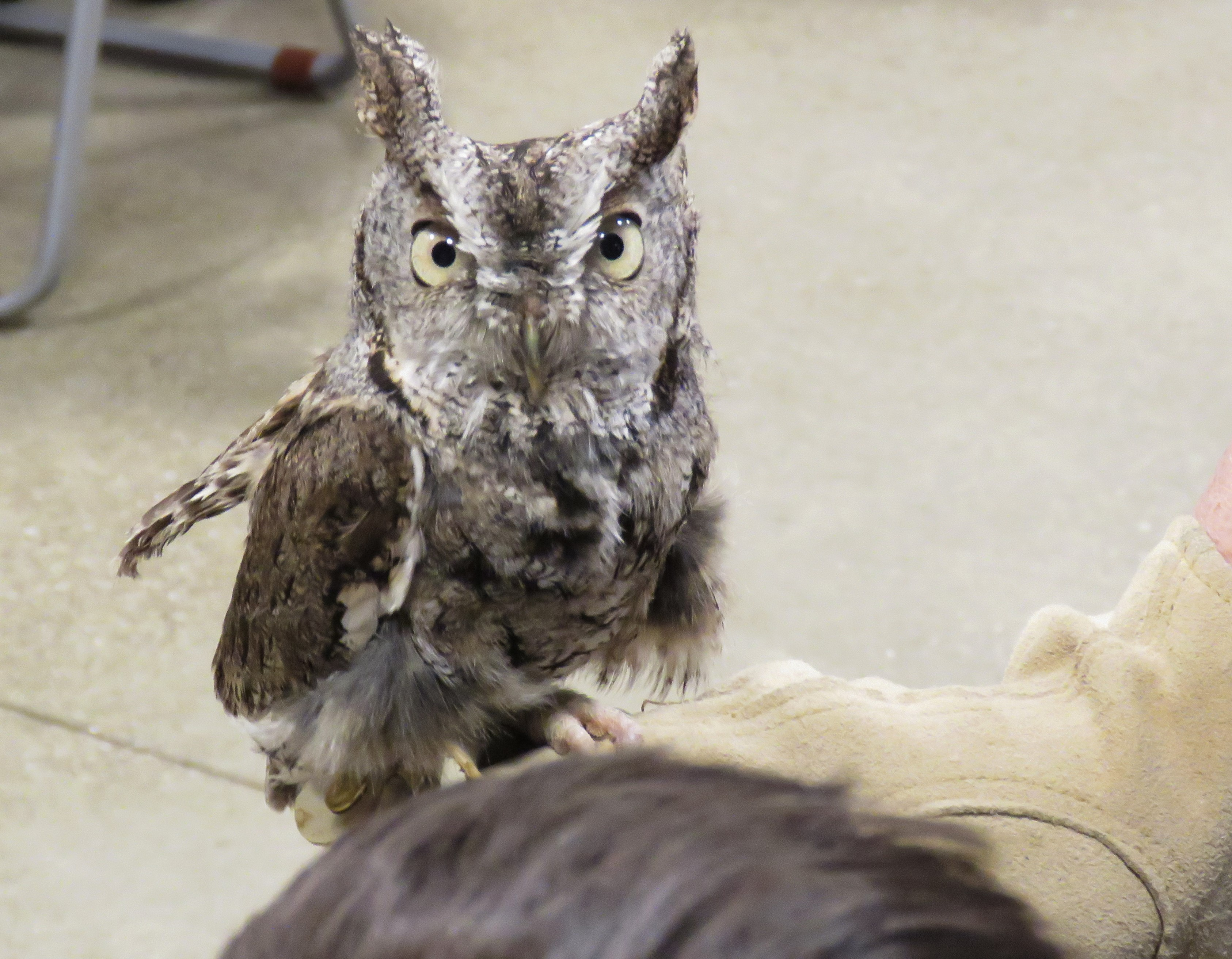 An Eastern Screech-Owl is perched on someone's hand. It is small, with short ear tufts and dark bill. It is gray overall with dark vertical streaks and fine dark barring. It has large yellow eyes.