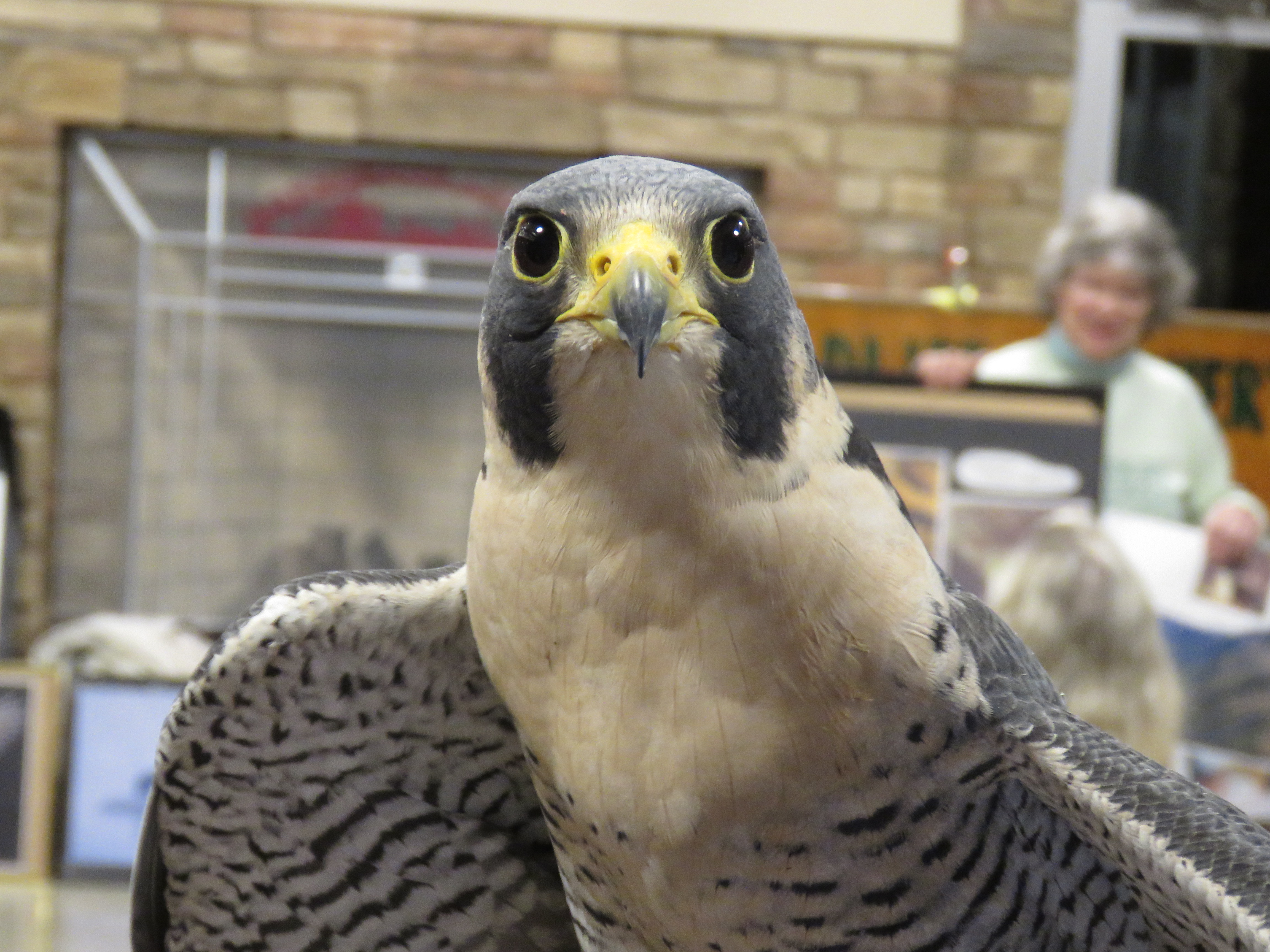 A close-up photograph of a peregrine falcon taken indoors. The falcon is staring right at the camera.