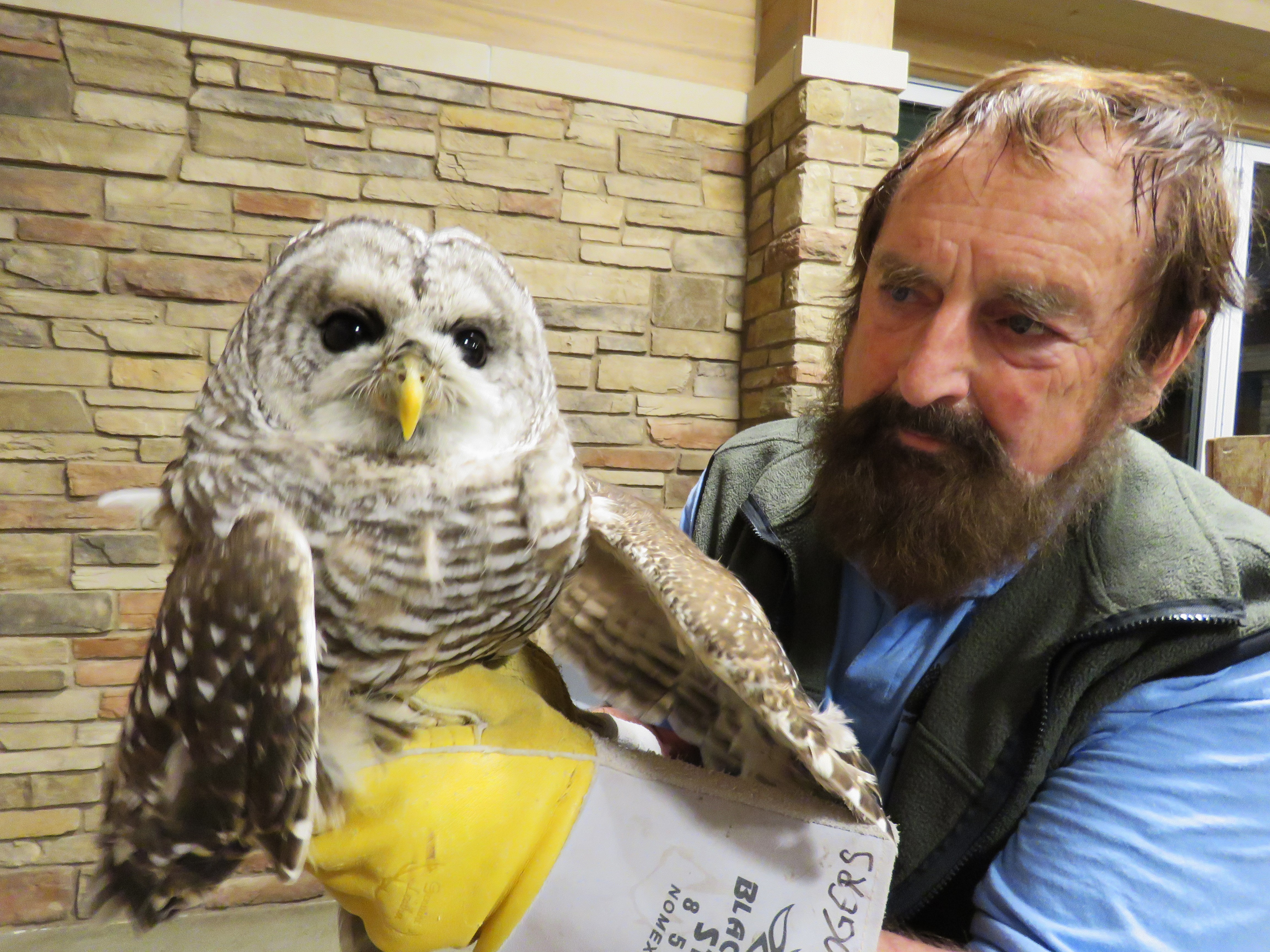A nature educator holds a barred owl that is perched on his gloved hand. The owl has brown-and-white-striped plumage, brown eyes, and a yellow beak.