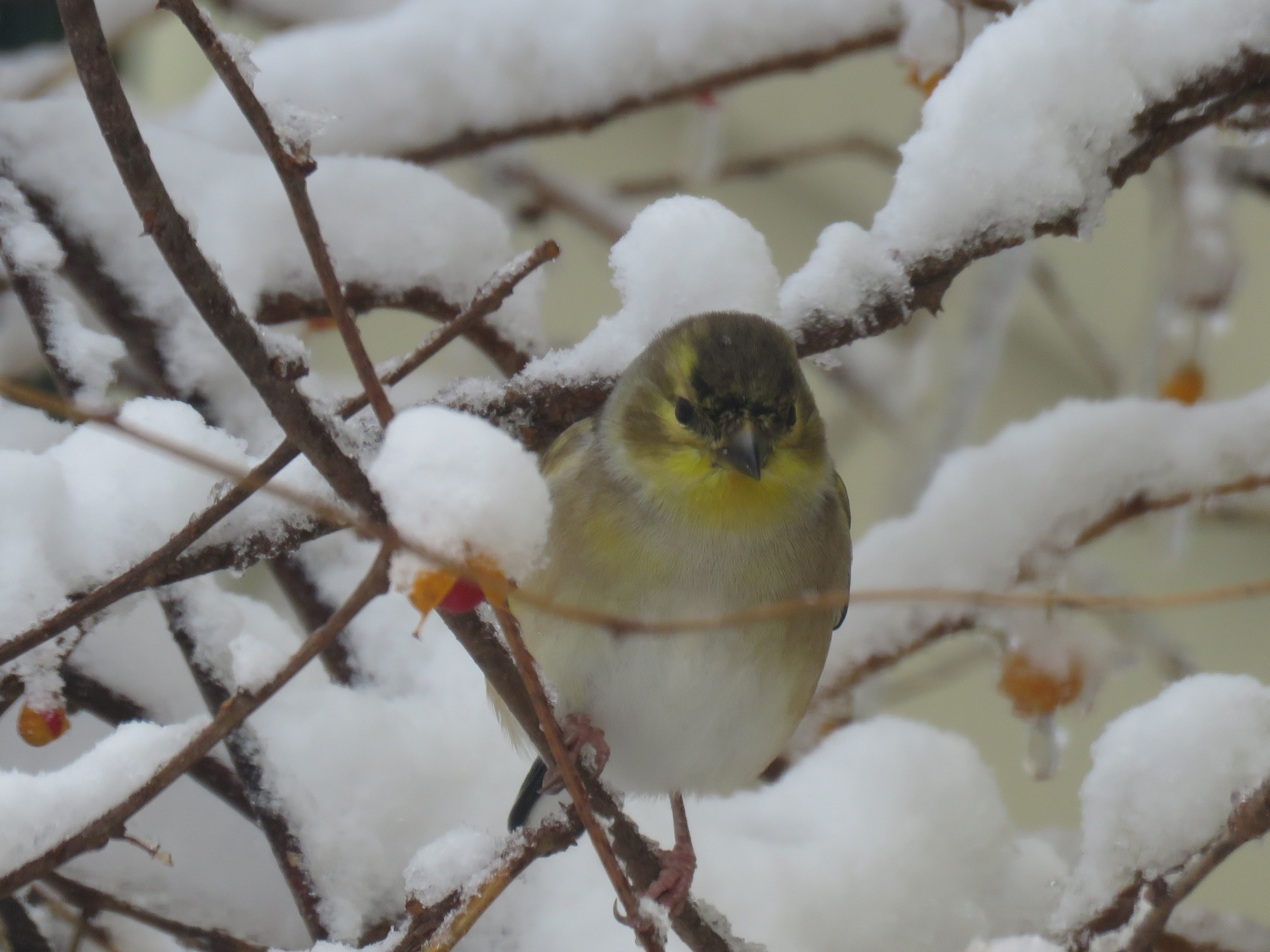 A small yellow finch sits on a branch in a bush that is covered with tufts of snow. Small yellow and red berries hang from the bush.