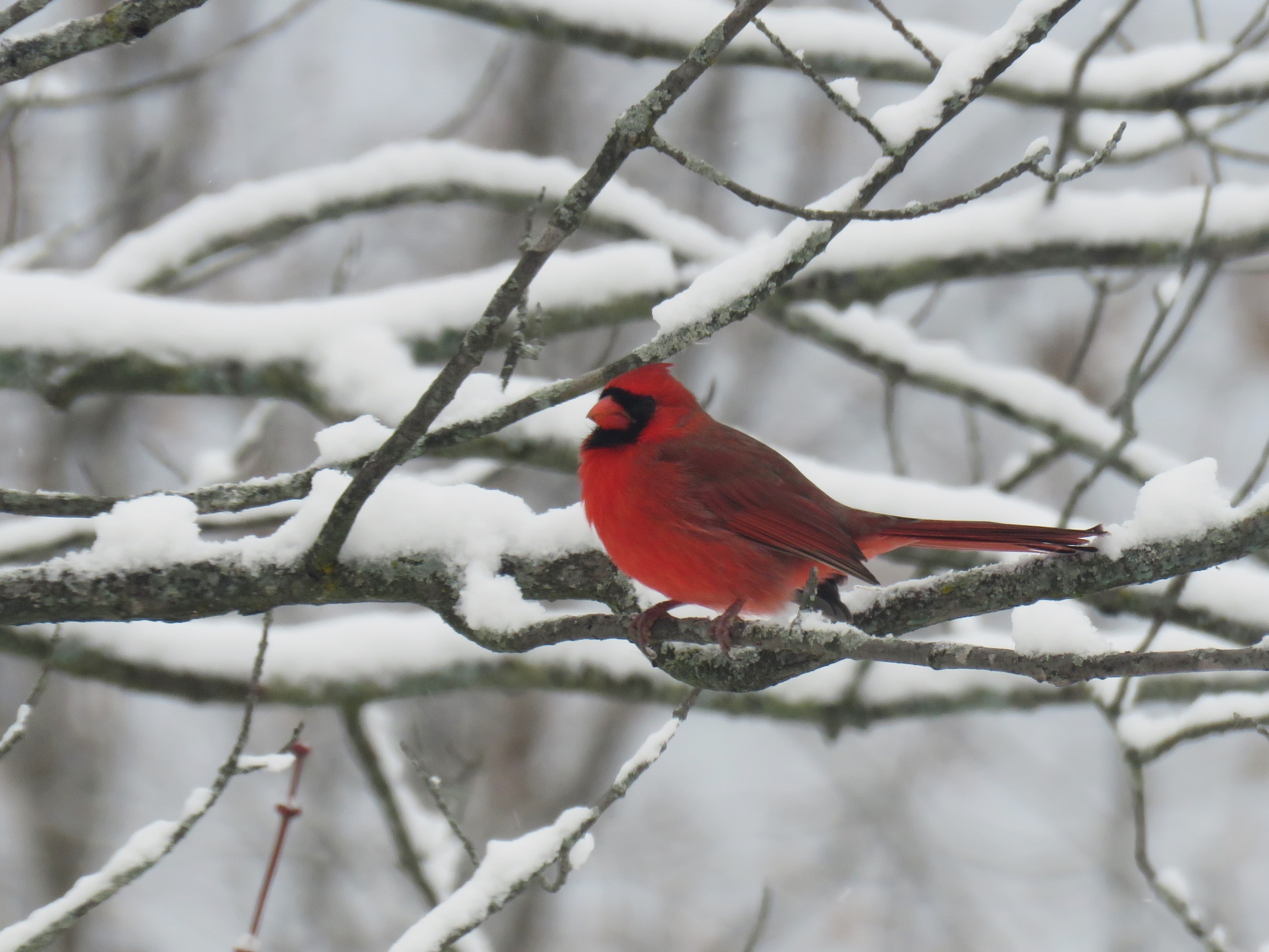 A male cardinal (brilliant red in color) sits on a snow covered tree branch.