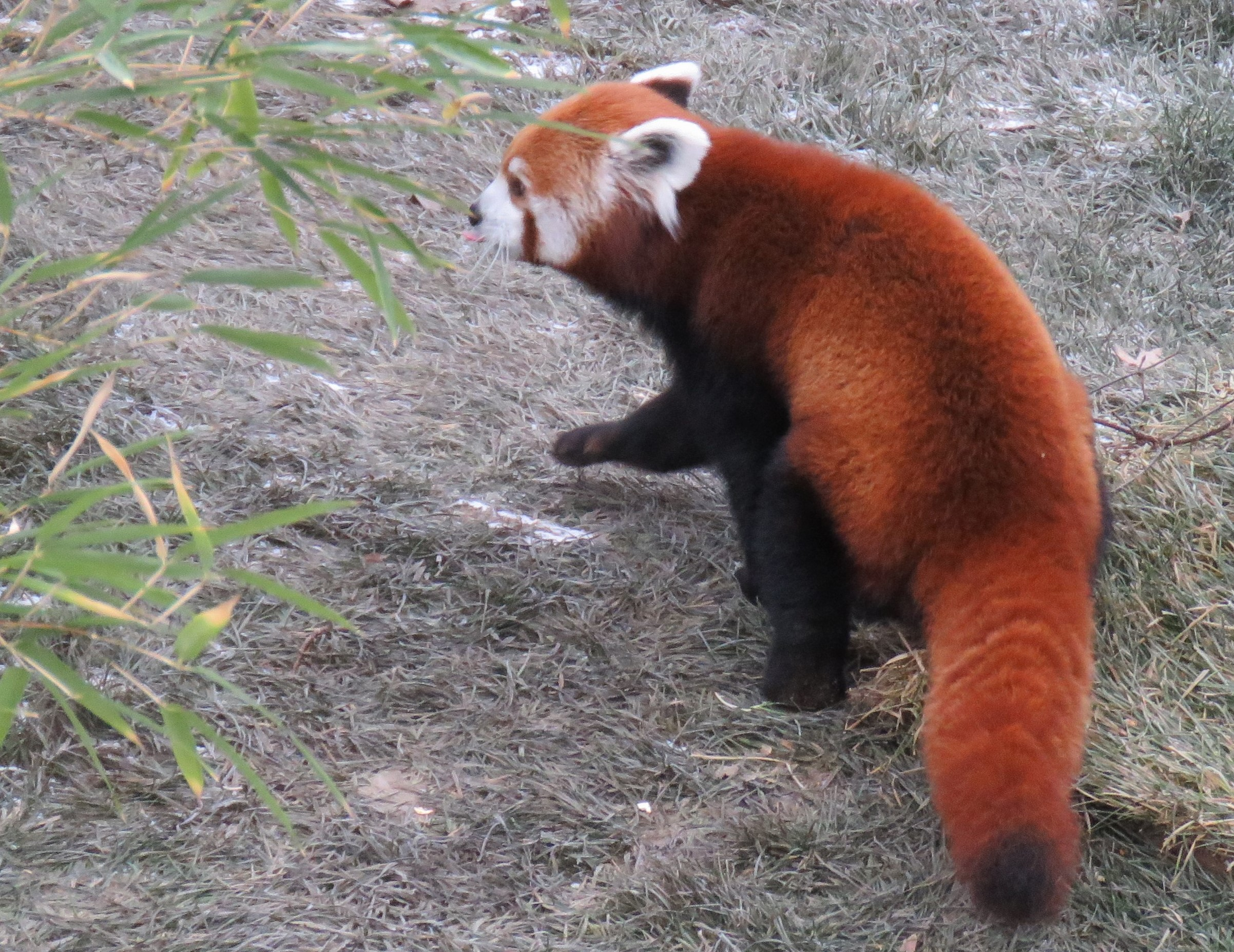 A red panda walking away