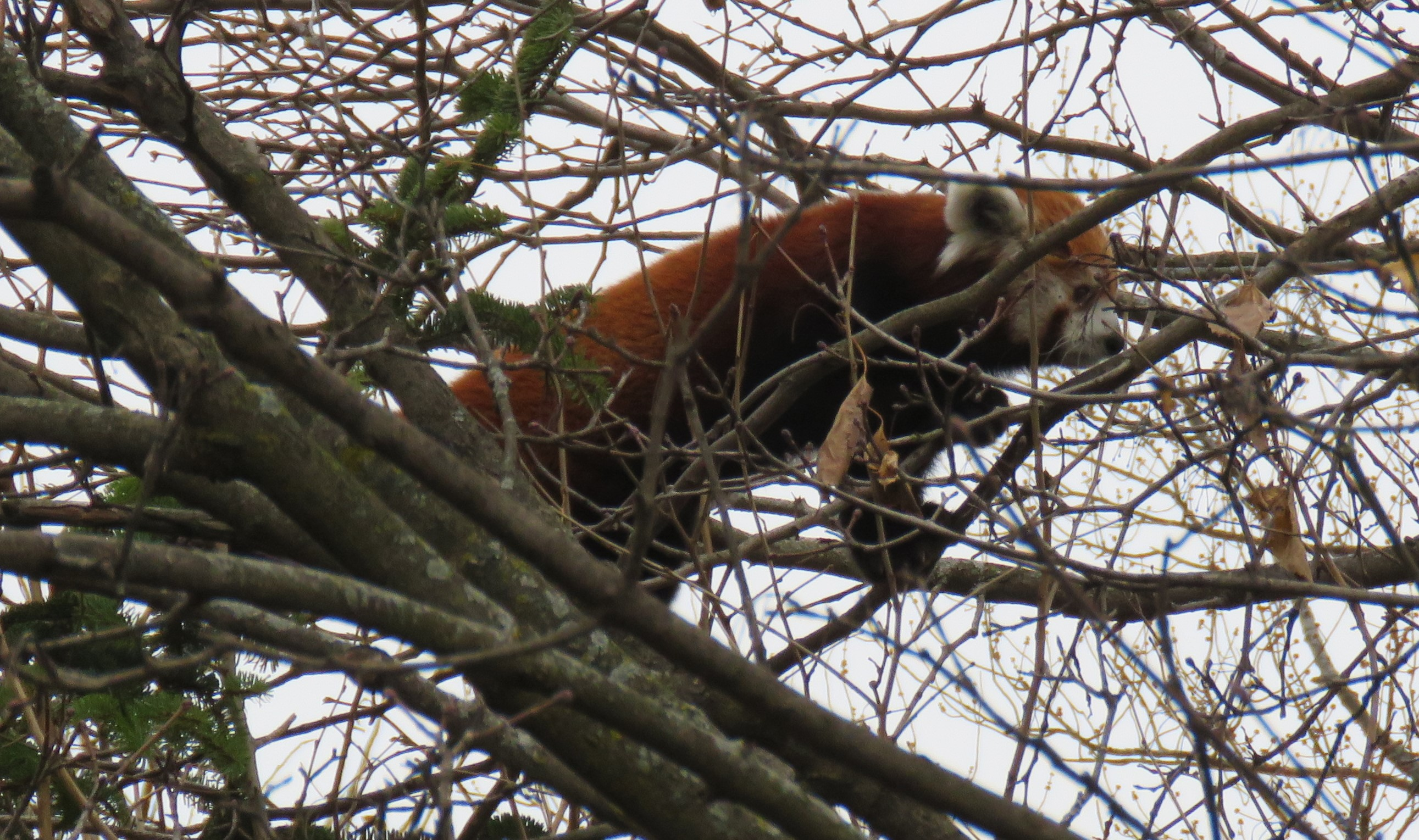 A red panda high up in a tree