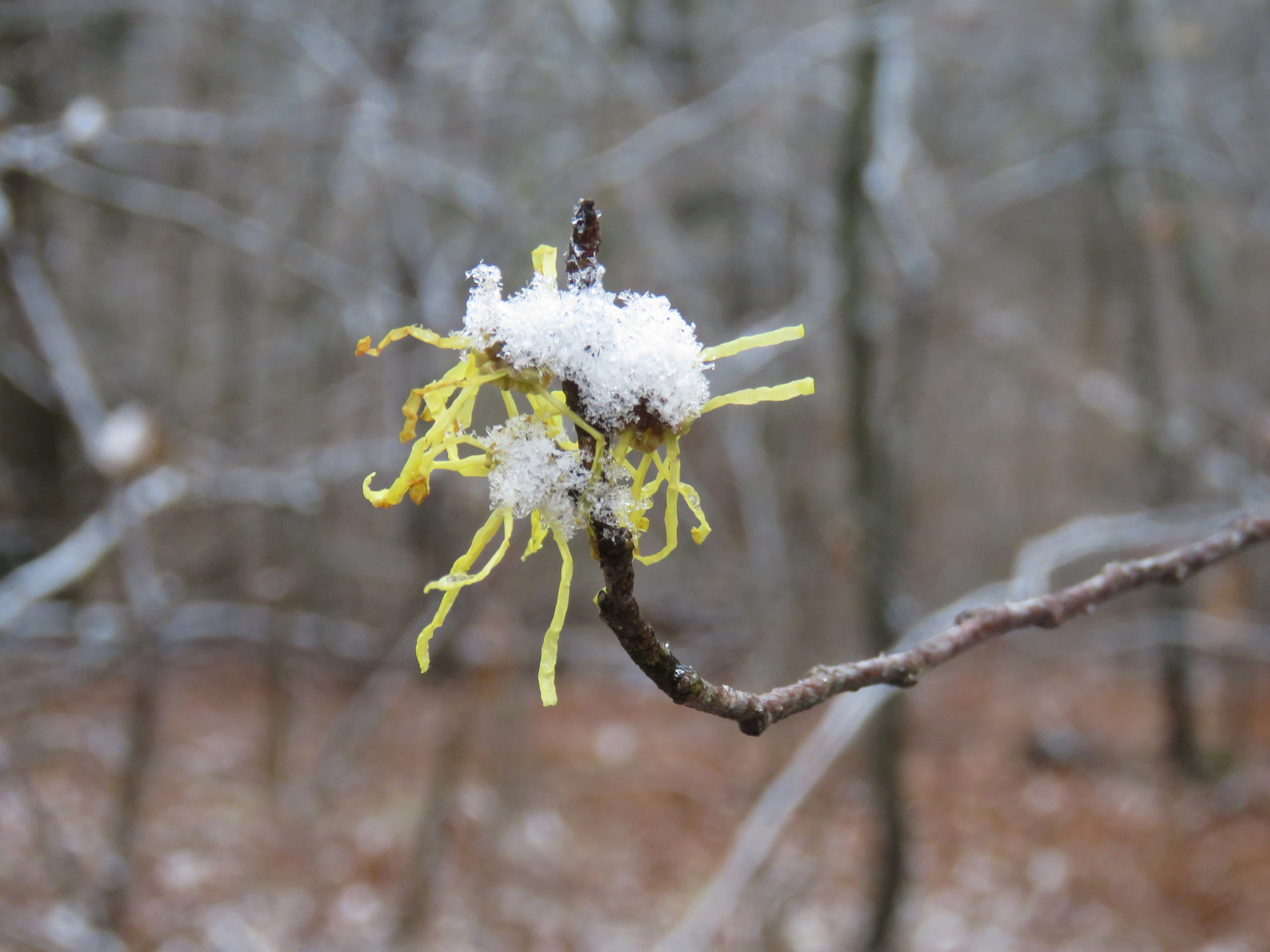 A Witch Hazel bloom with a mound of frost on top of it.