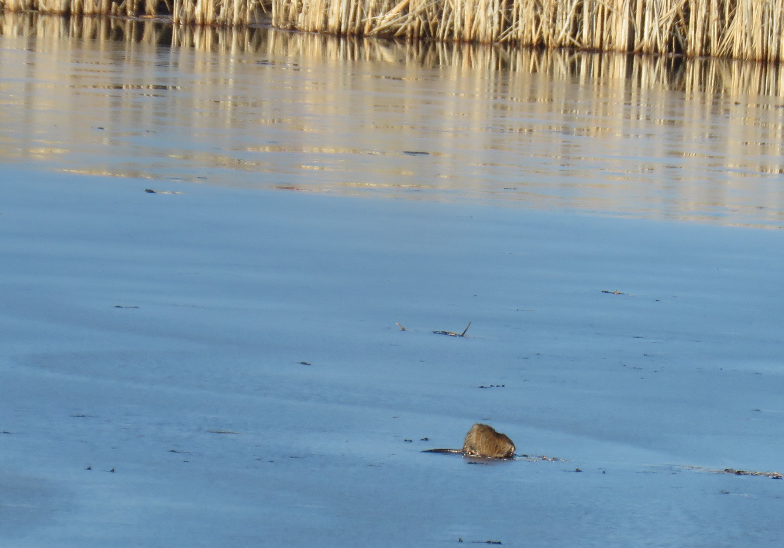 A muskrat on lake ice. Weeds grow behind it at the lake edge.