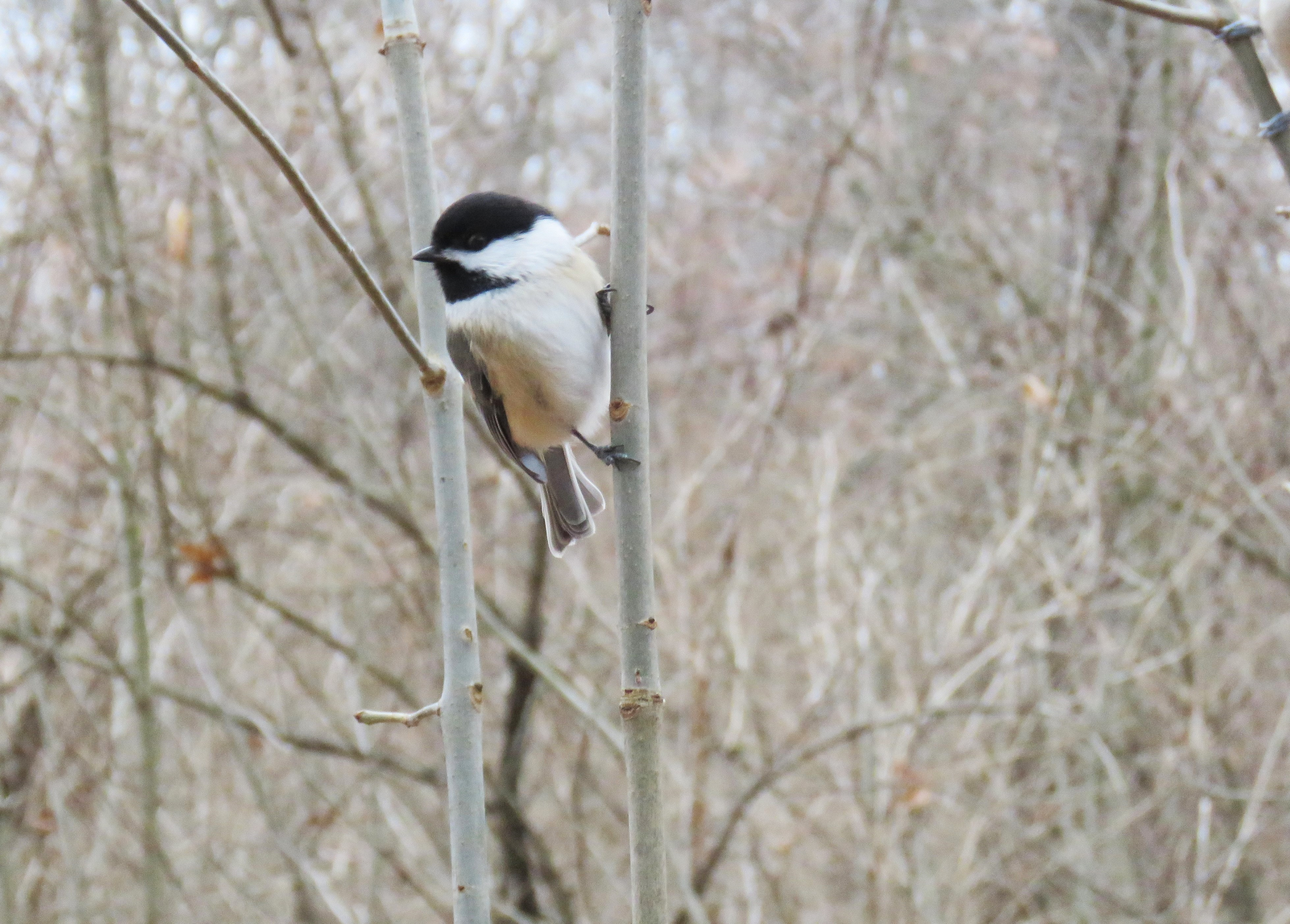 A Black-capped Chickadee perches upright between two branches