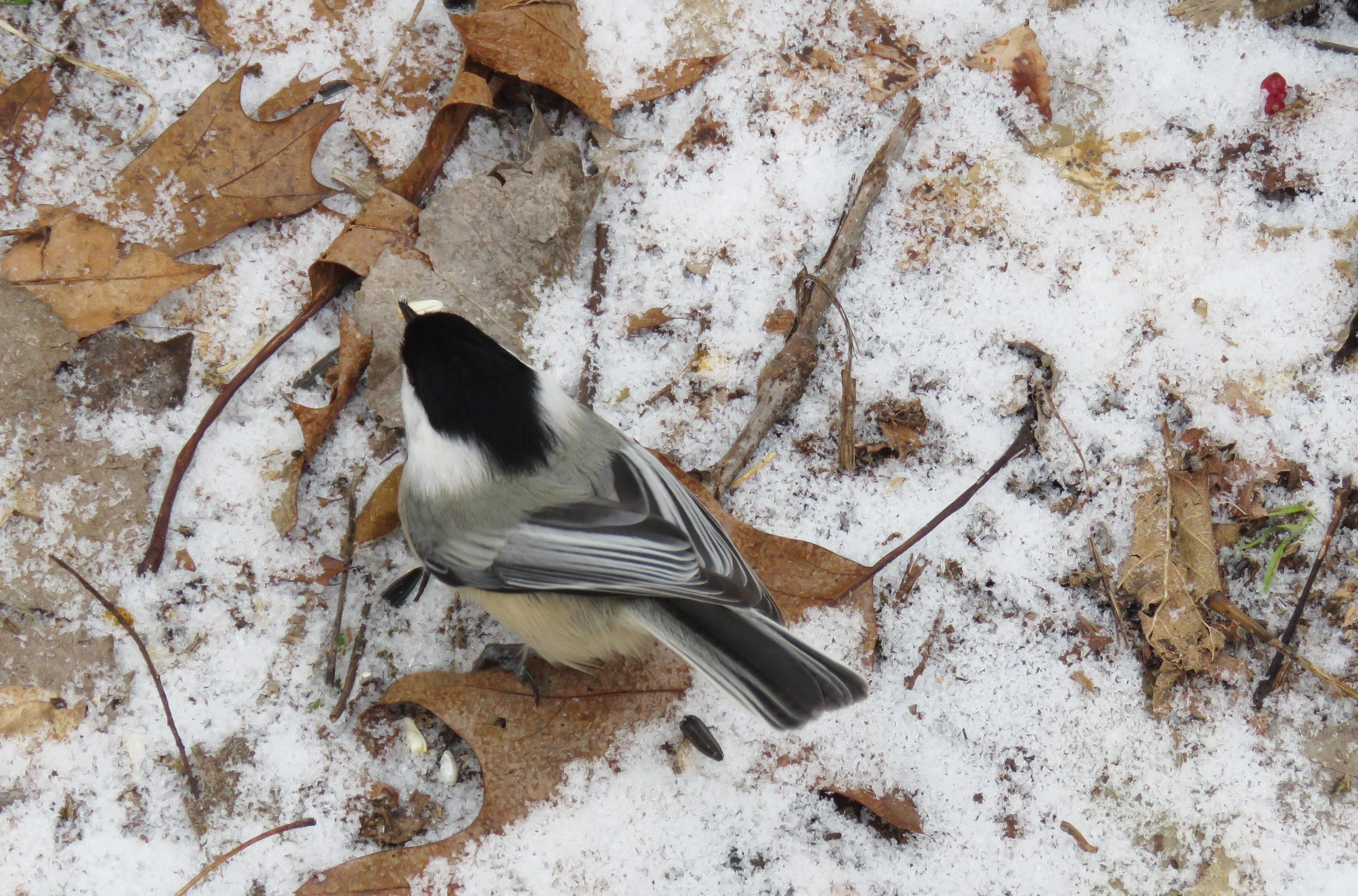 A photo of a Black-capped Chickadee standing on leaf and snow-covered ground, taken from above.