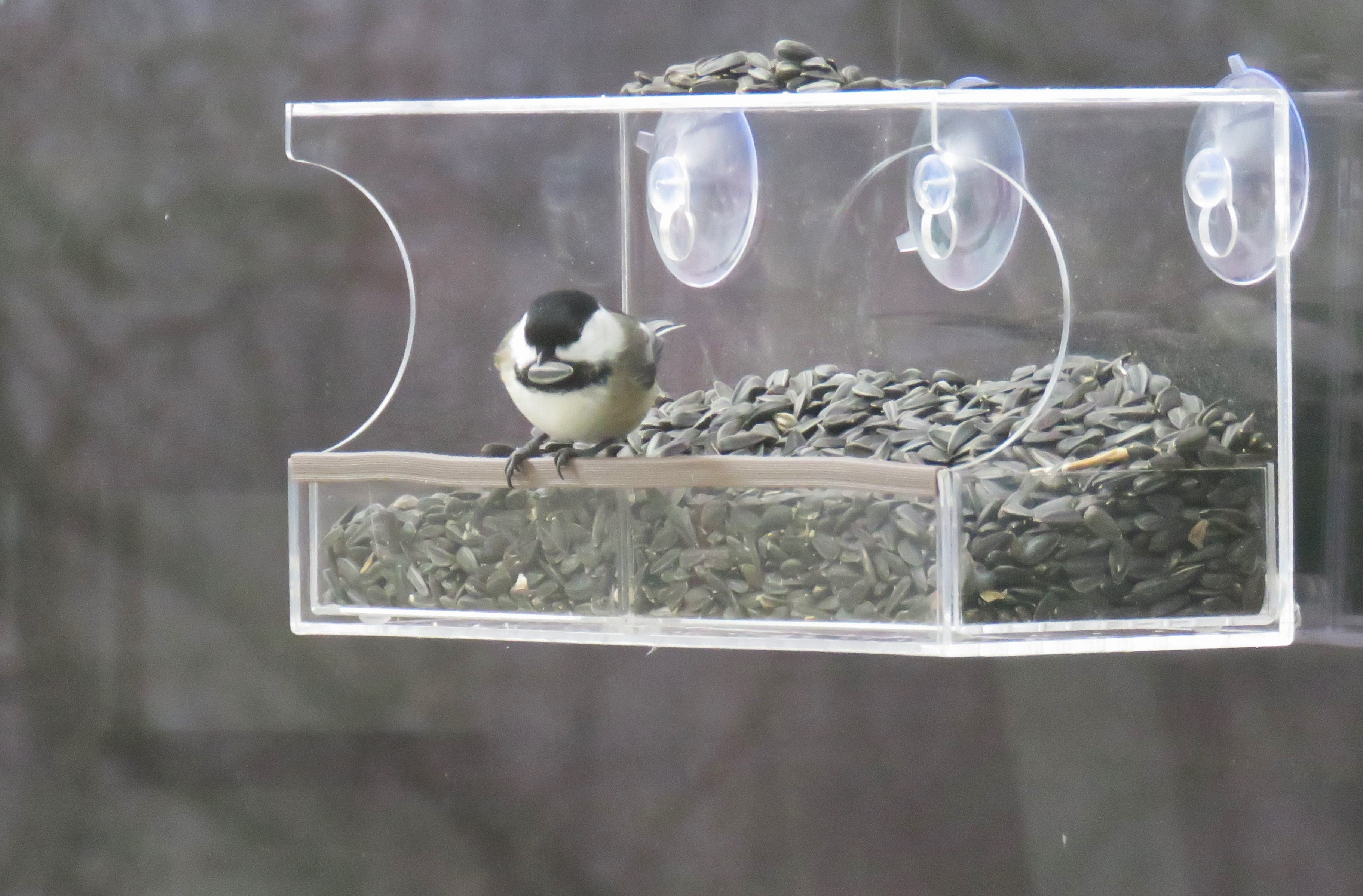 A Black-capped Chickadee perches on clear window feeder.
