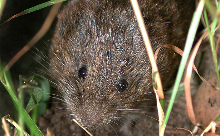 A close up photo of a meadow vole in the dark.