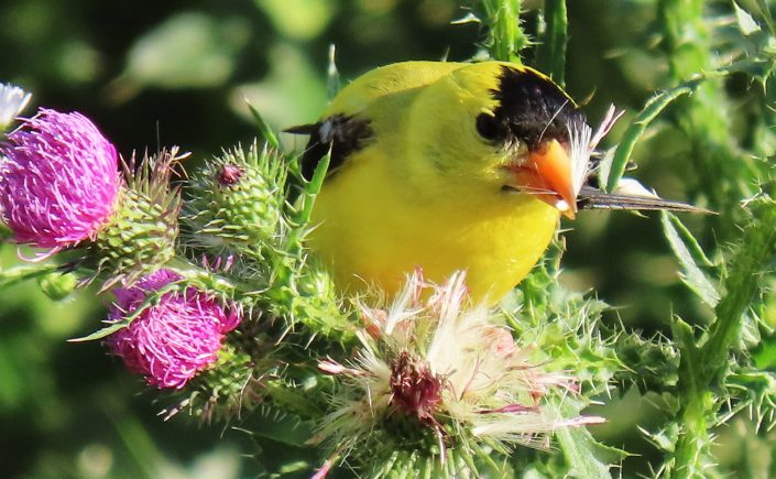 A Goldfinch in Oakland County, Michigan