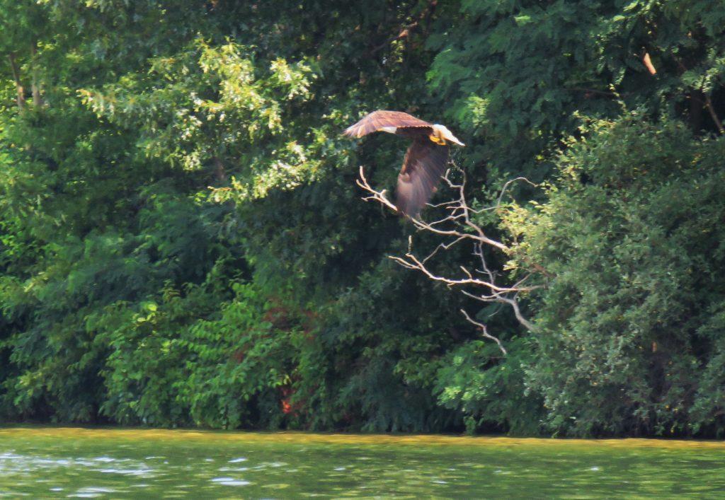 Flying Bald Eagle