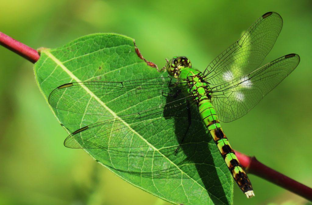 A bright-green, female Eastern Pondhawk.