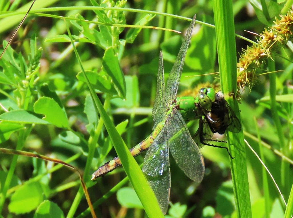 Horsefly in mouth of Eastern Pondhawk
