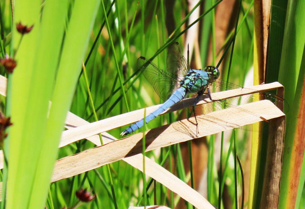 A bright blue dragonfly on twig