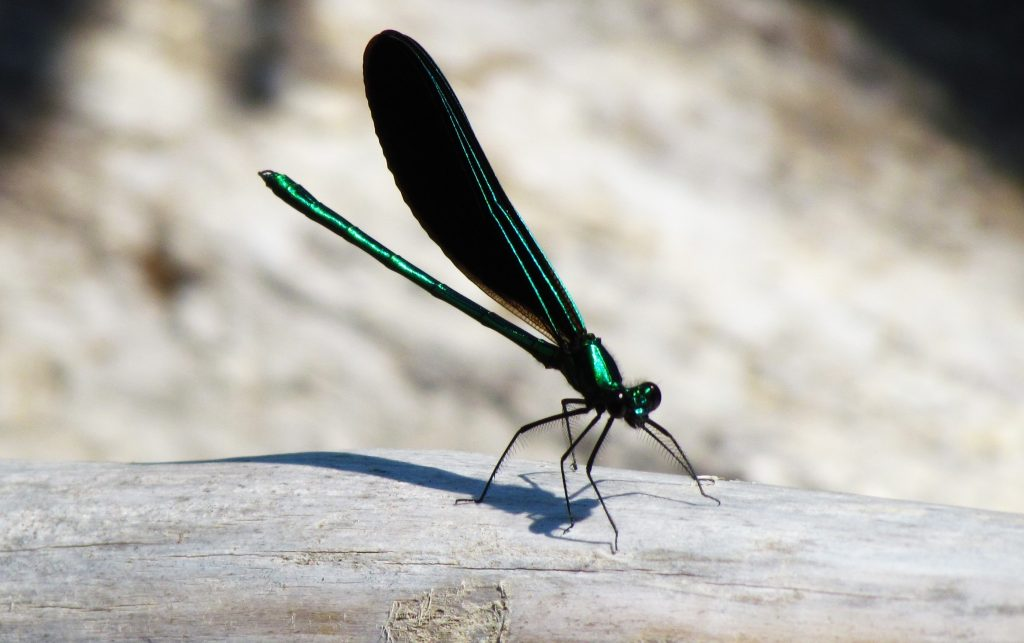 Black and green Ebony River Jewelwing