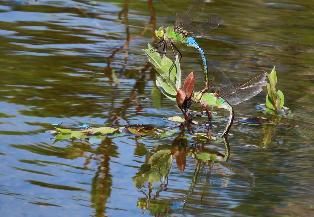 Green Darners in tandem on water