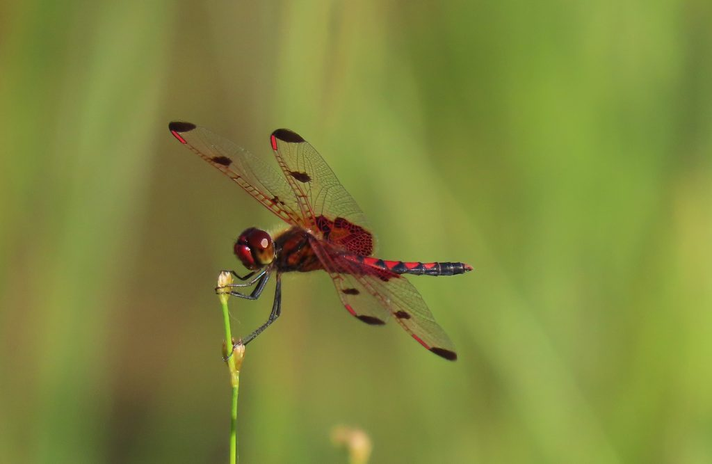 A bright-red Calico Pennant.