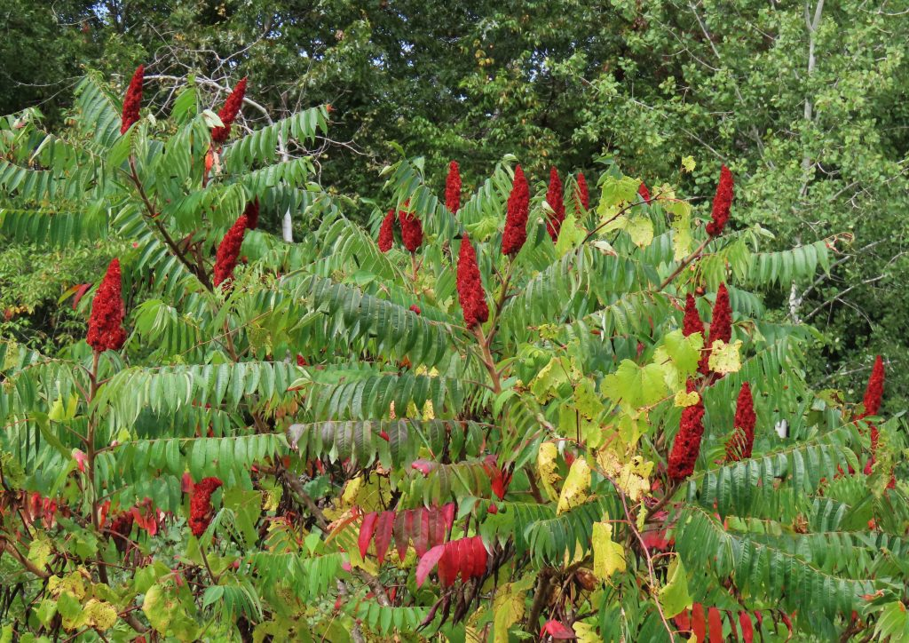 red and green staghorn sumac